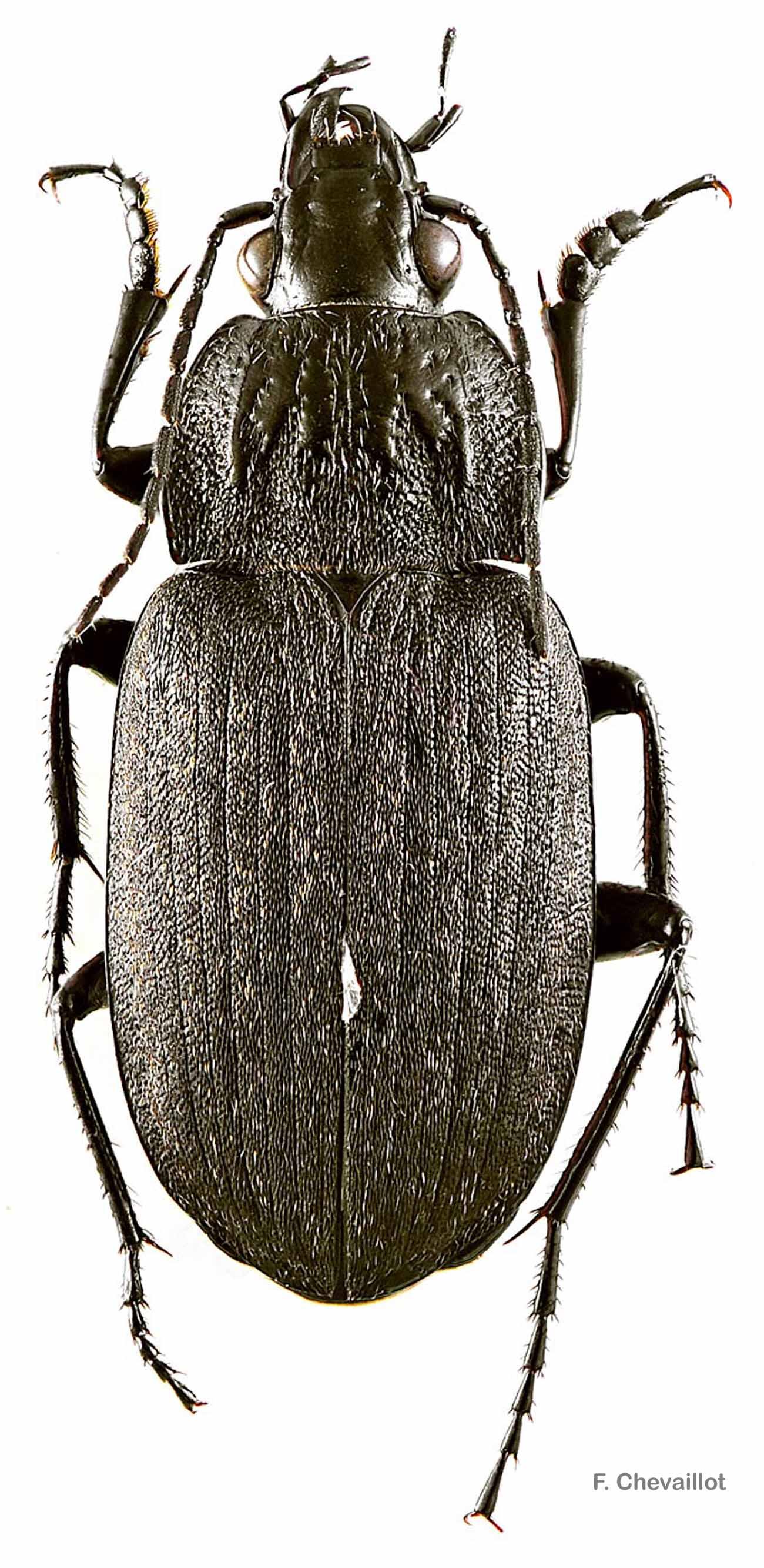 Chlaenius sulcicollis