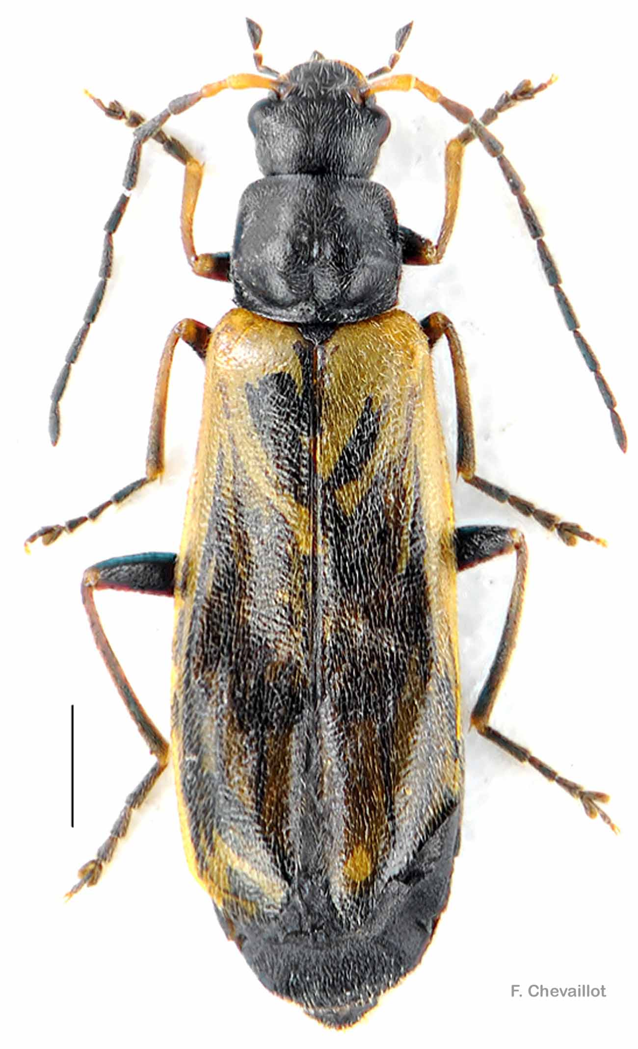 Rhagonycha nigriventris