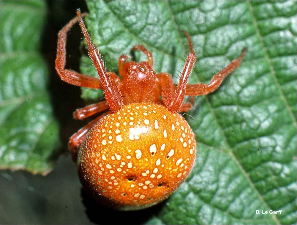 Araneus alsine