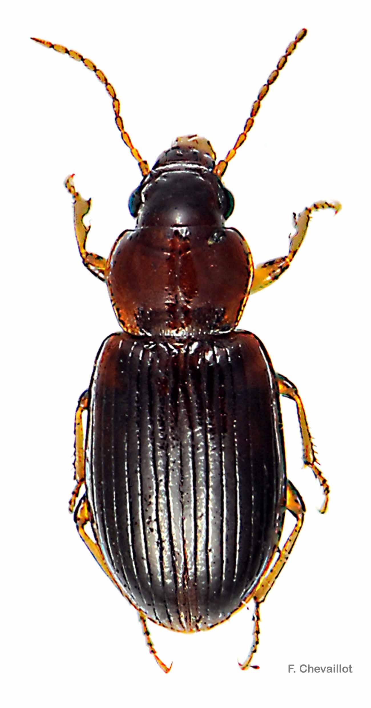 Bradycellus caucasicus