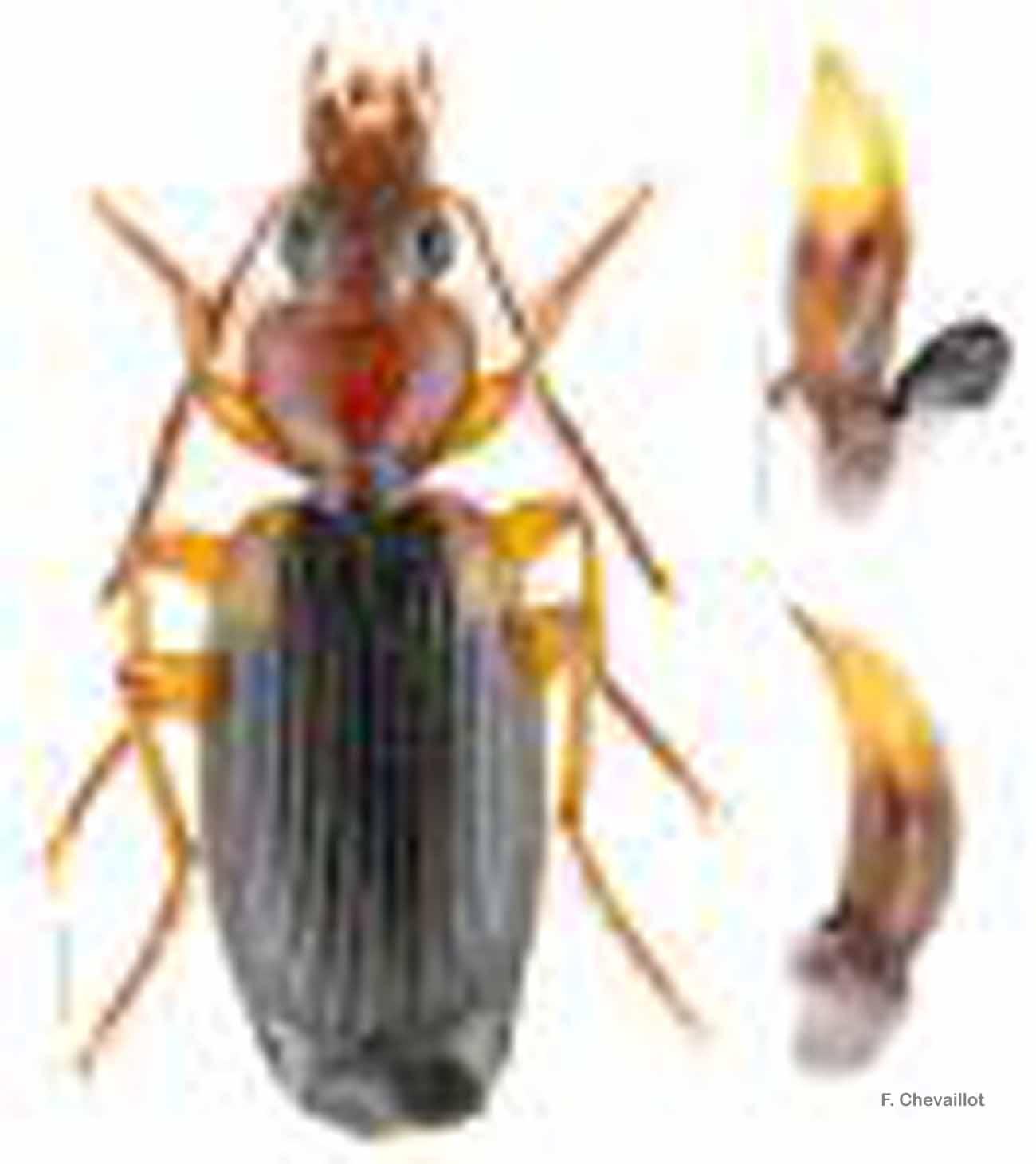 Cymindis scapularis
