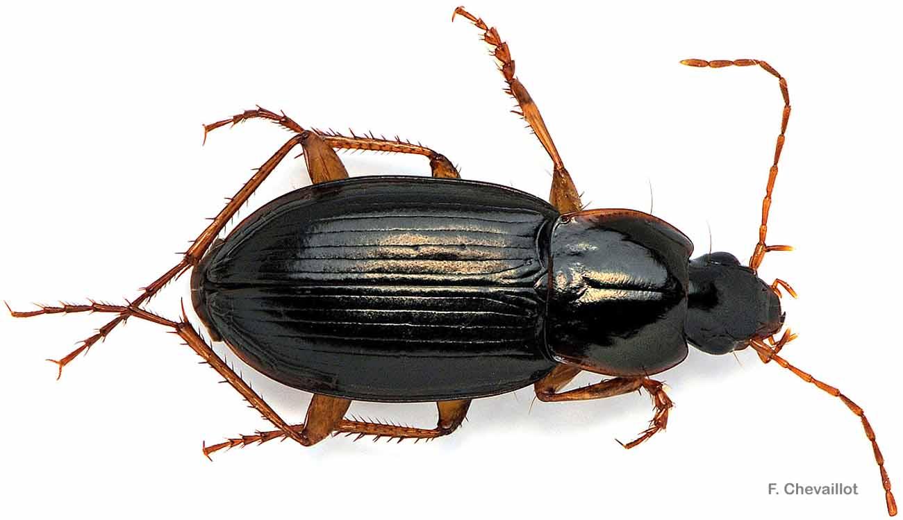 Calathus micropterus