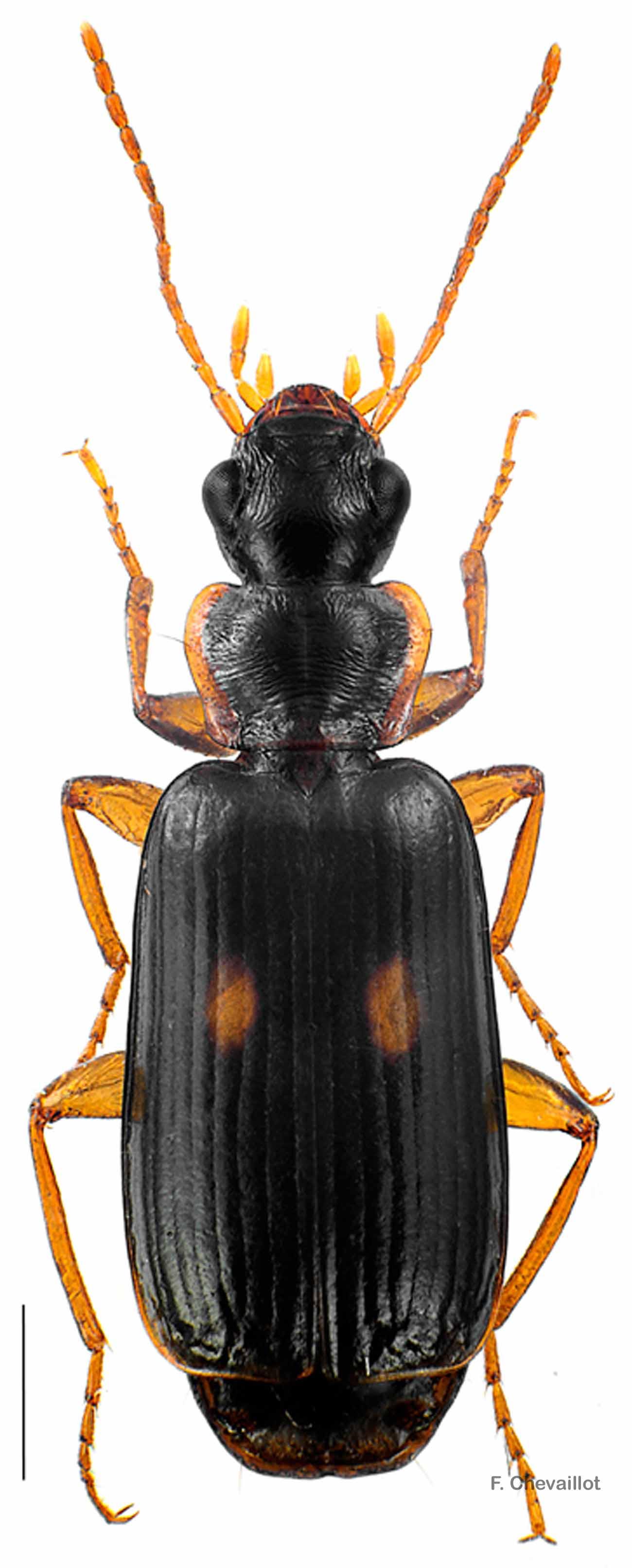 Dromius fenestratus