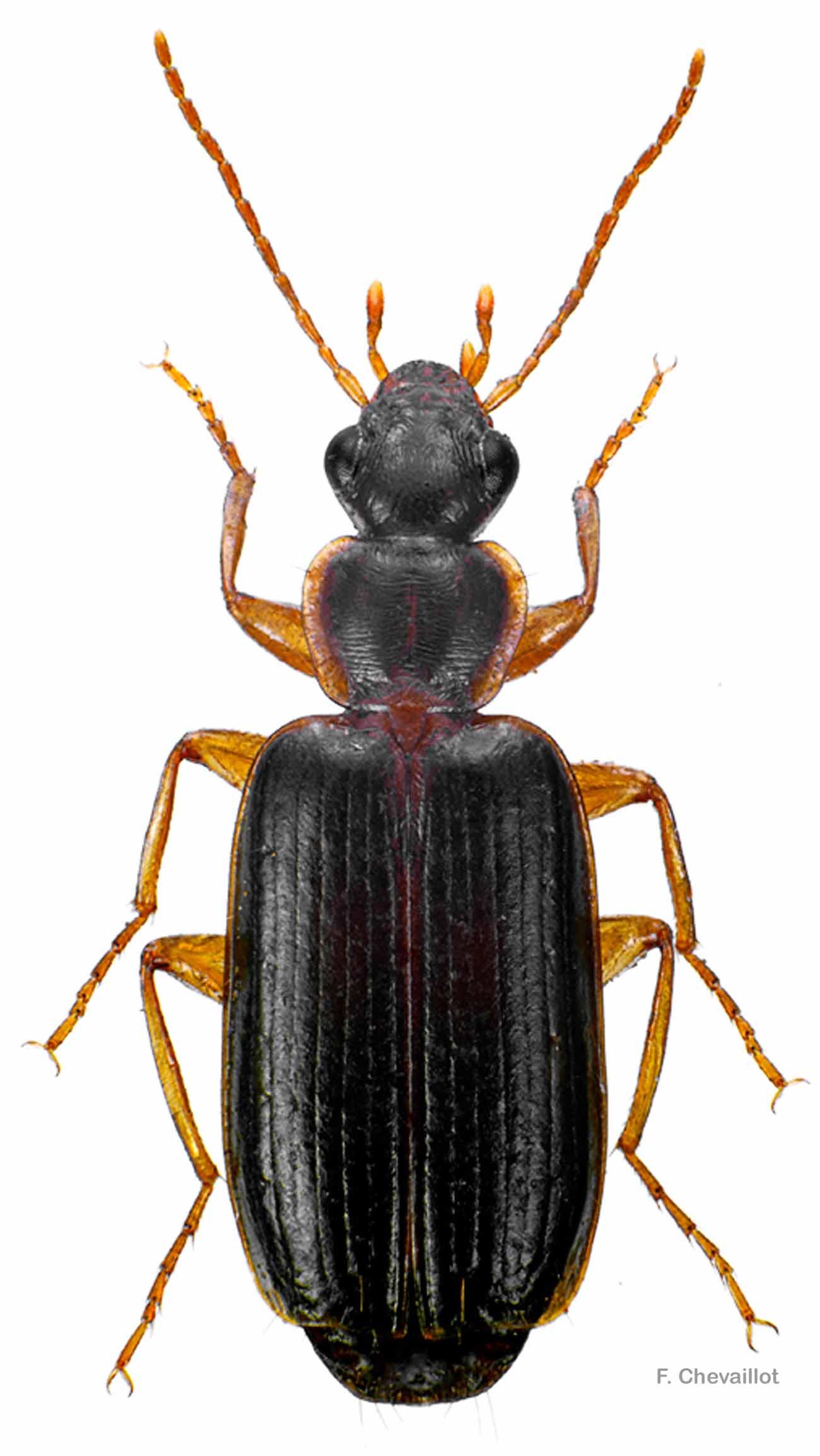 Dromius meridionalis