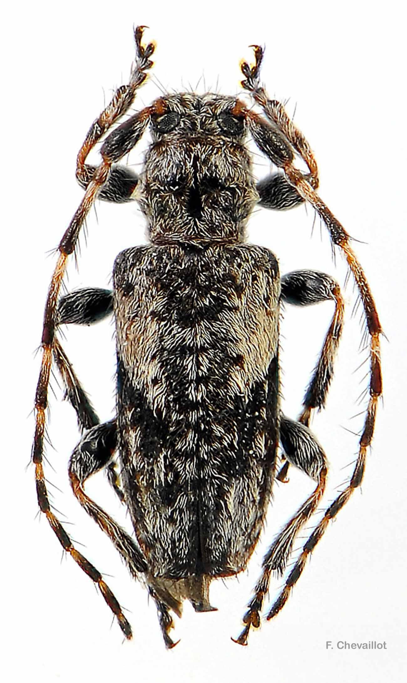 Pogonocherus decoratus