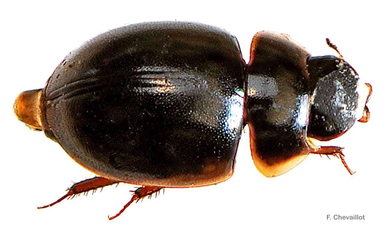 Anacaena globulus