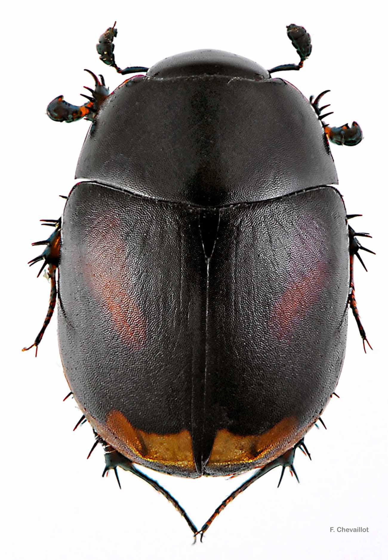 Sphaeridium scarabaeoides