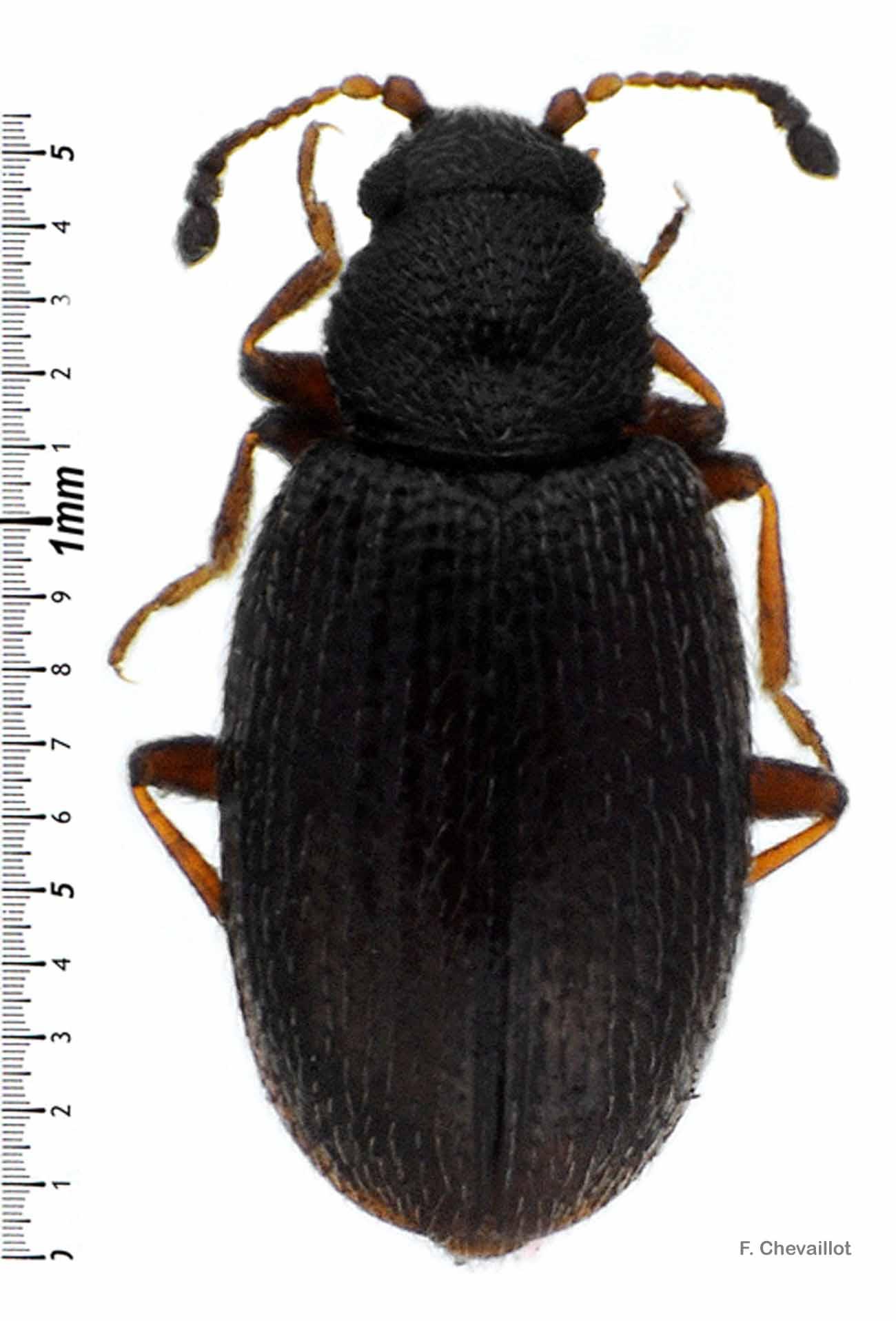 Corticarina parvula