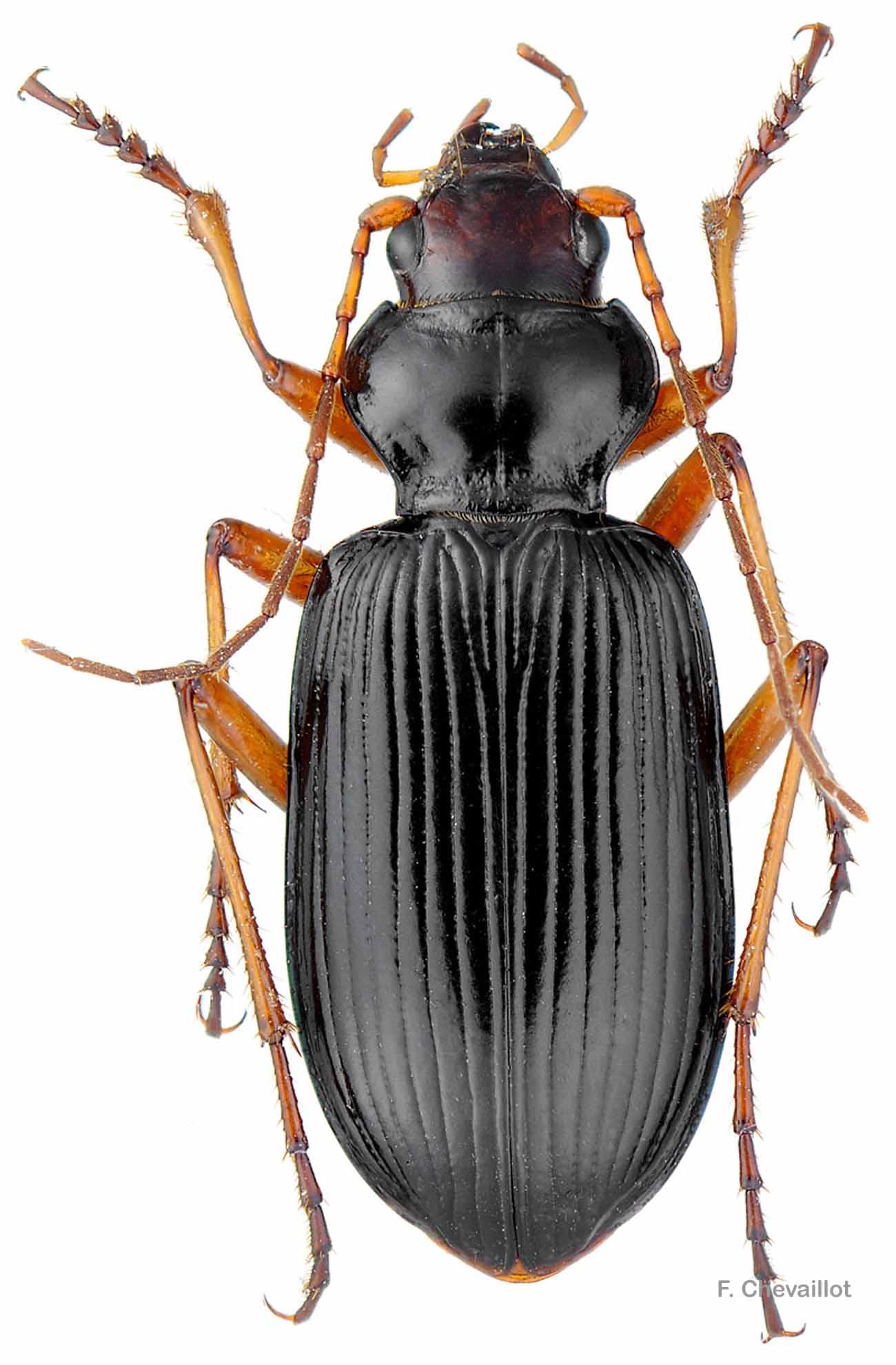 Nebria picicornis
