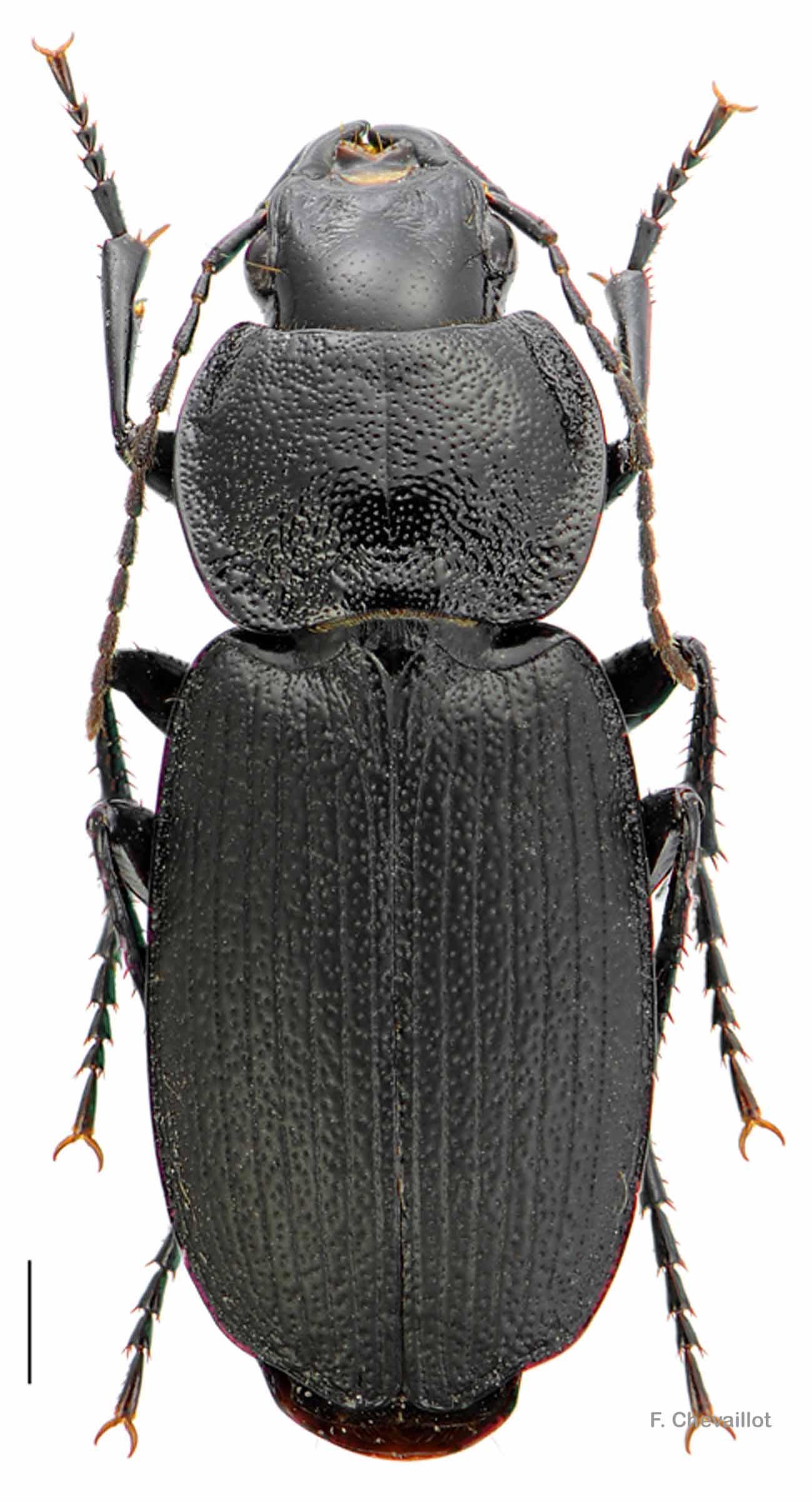 Licinus cassideus