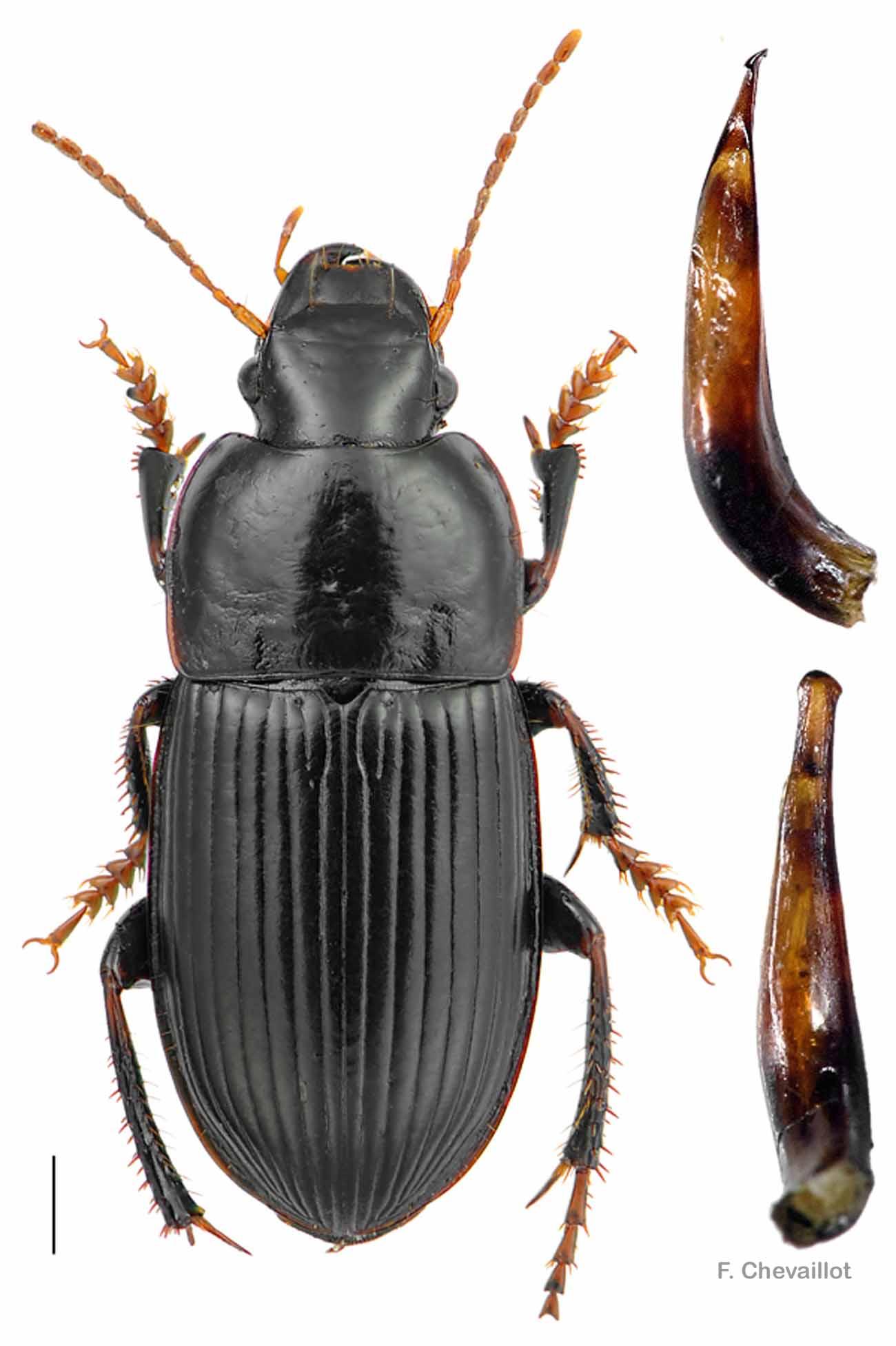 Harpalus tardus