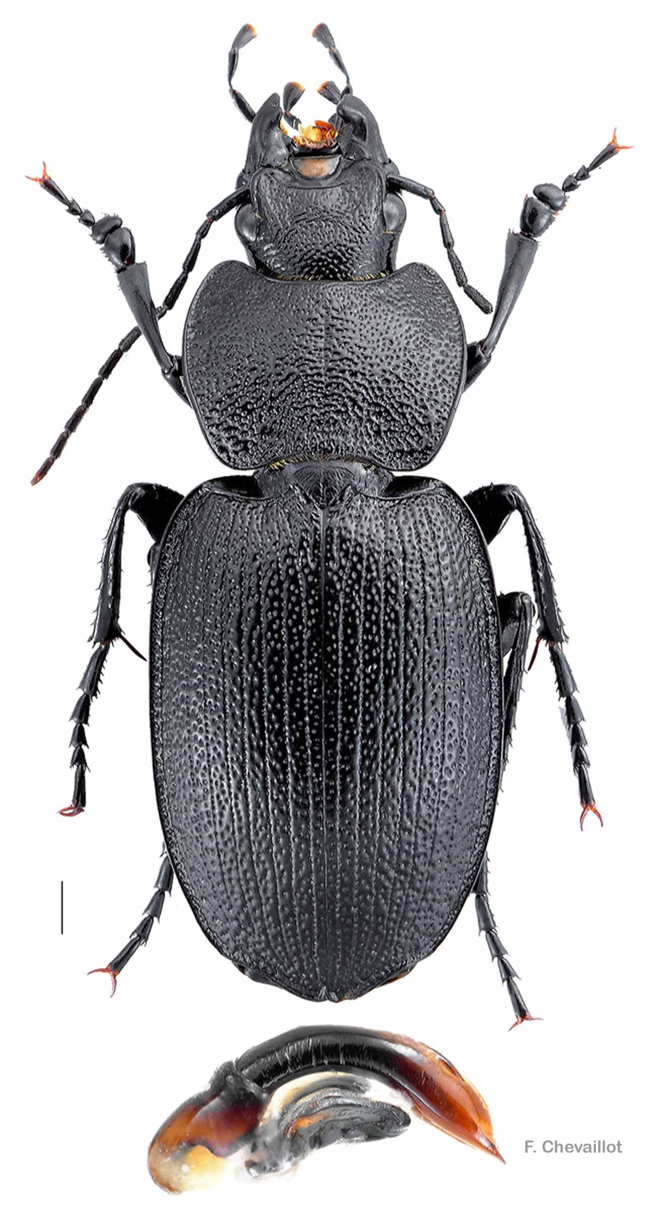 Licinus planicollis