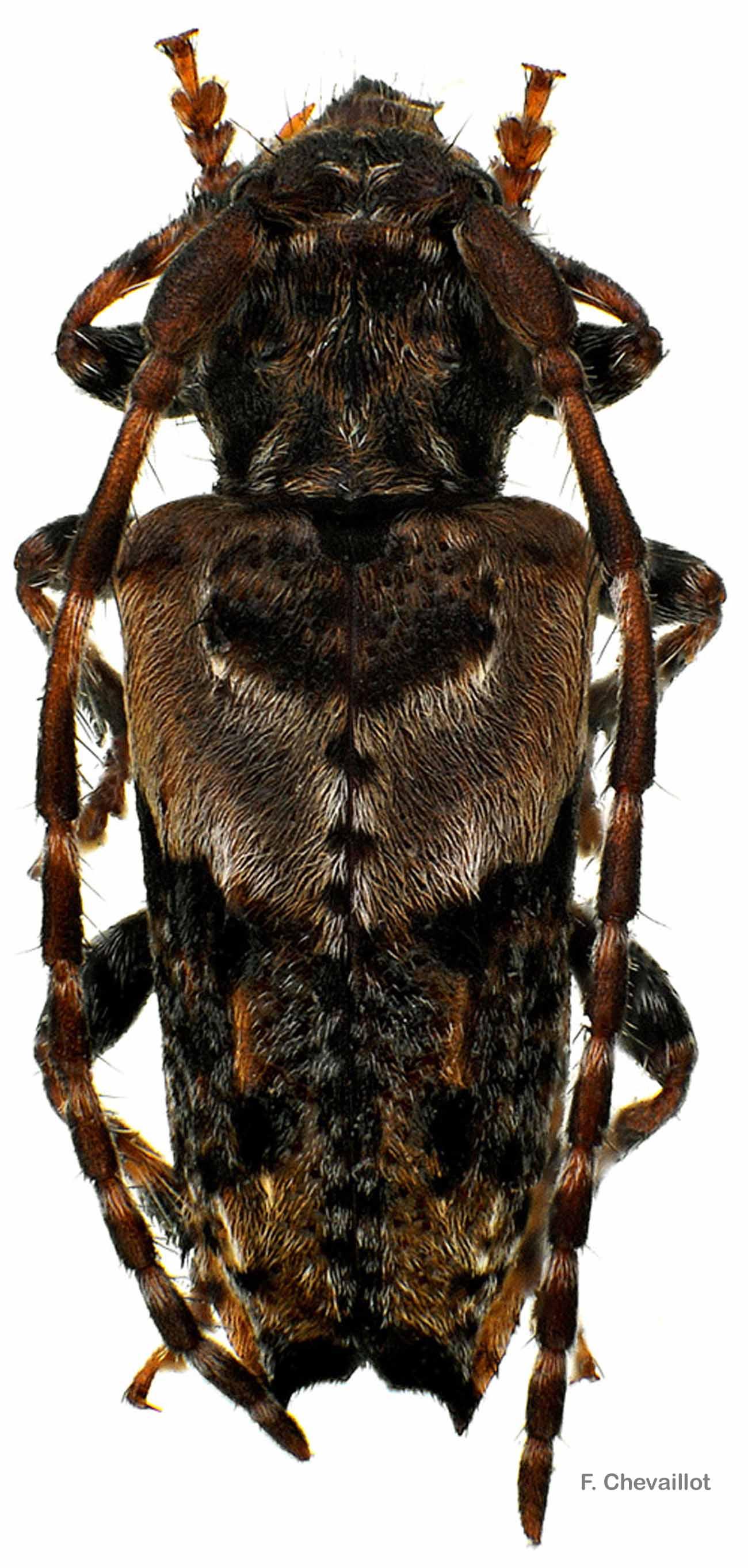 Pogonocherus hispidus