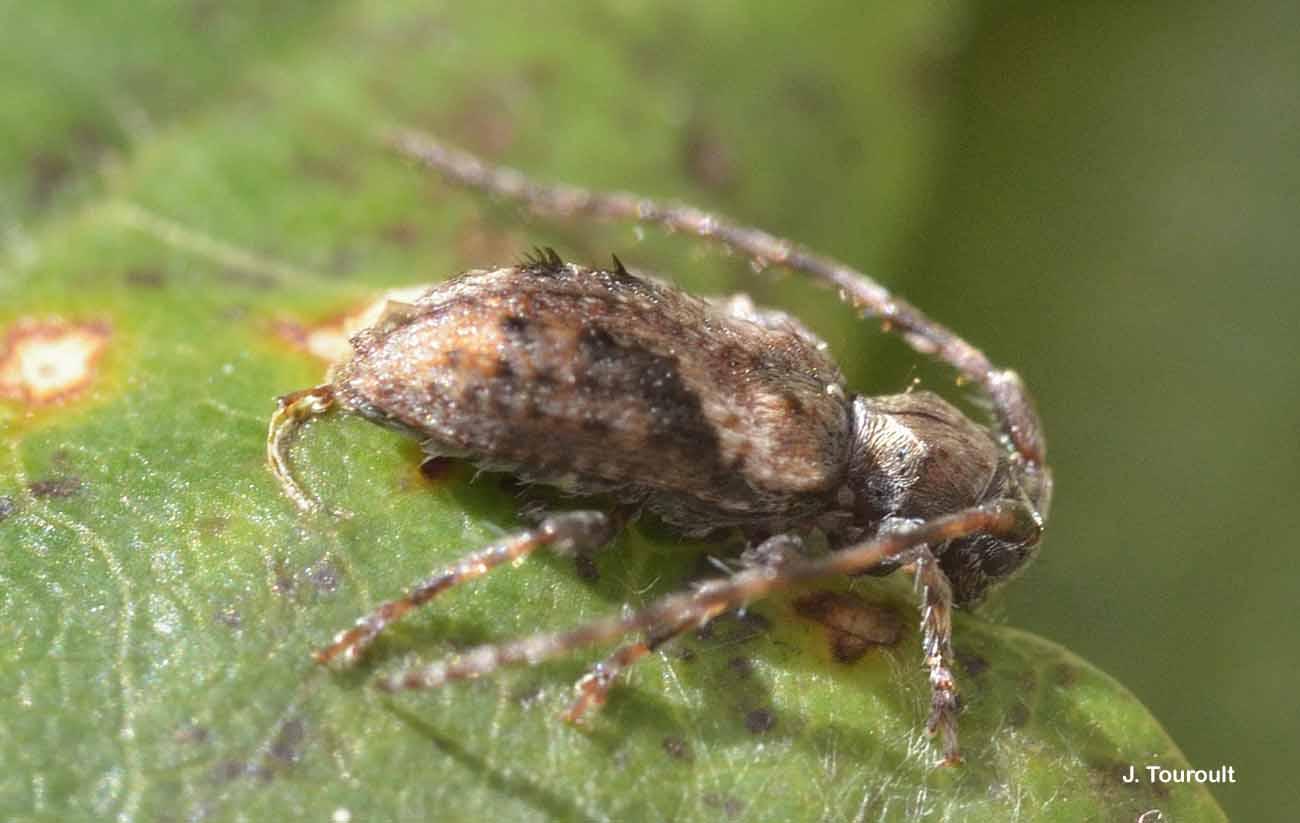 Pogonocherus ovatus