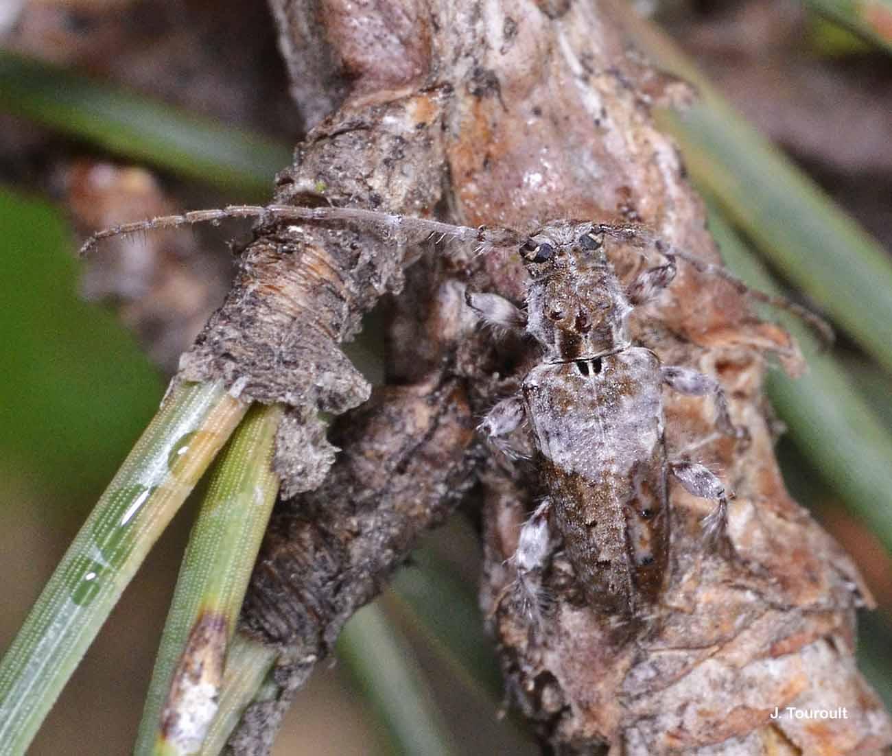 Pogonocherus perroudi