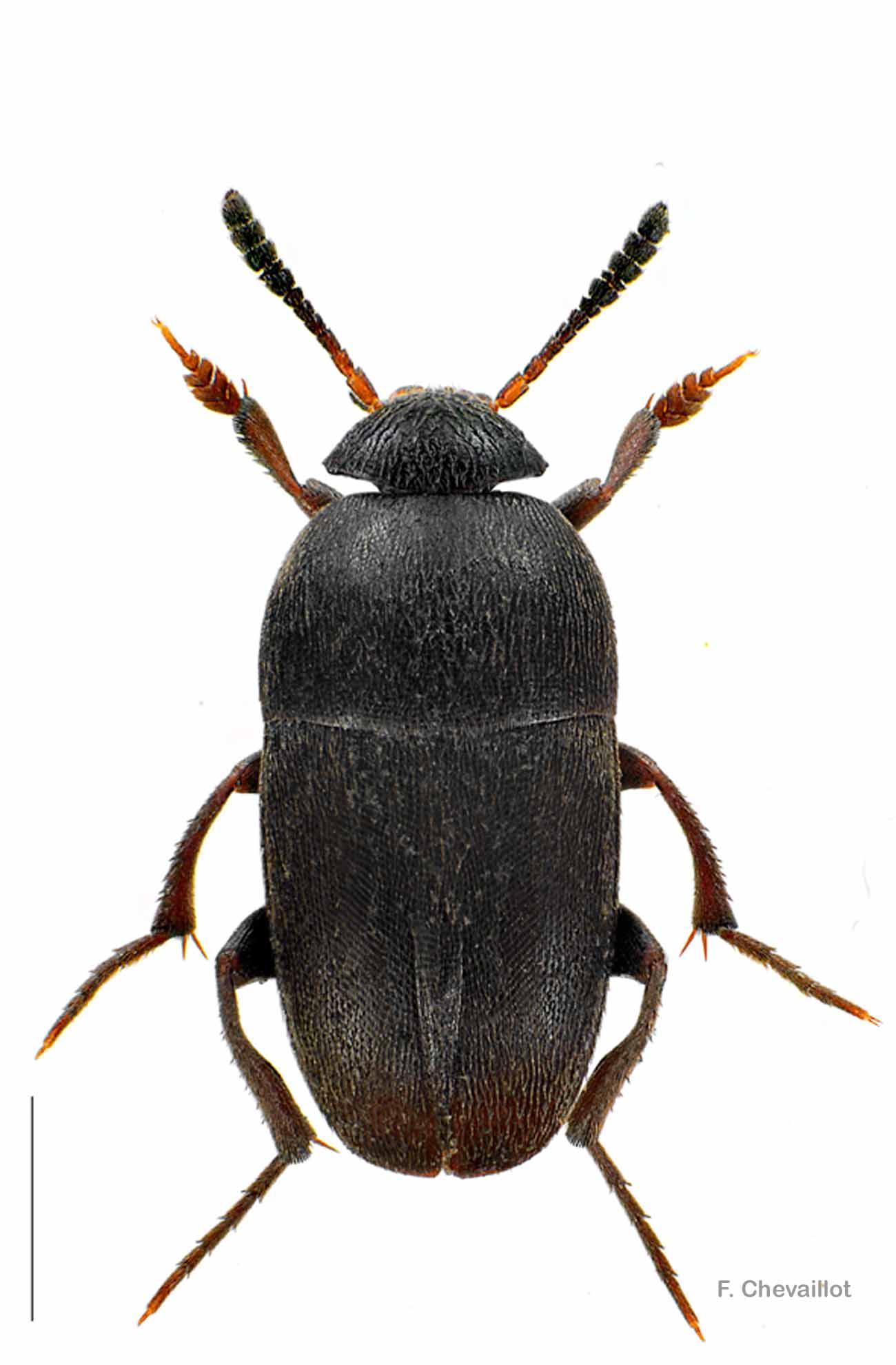 Ptomaphagus subvillosus
