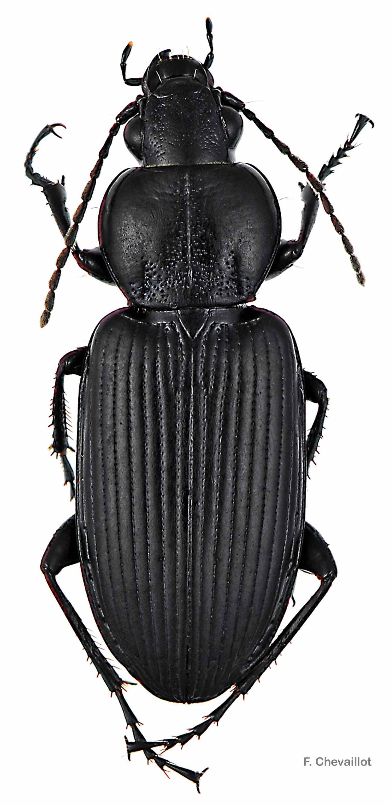 Poecilus puncticollis