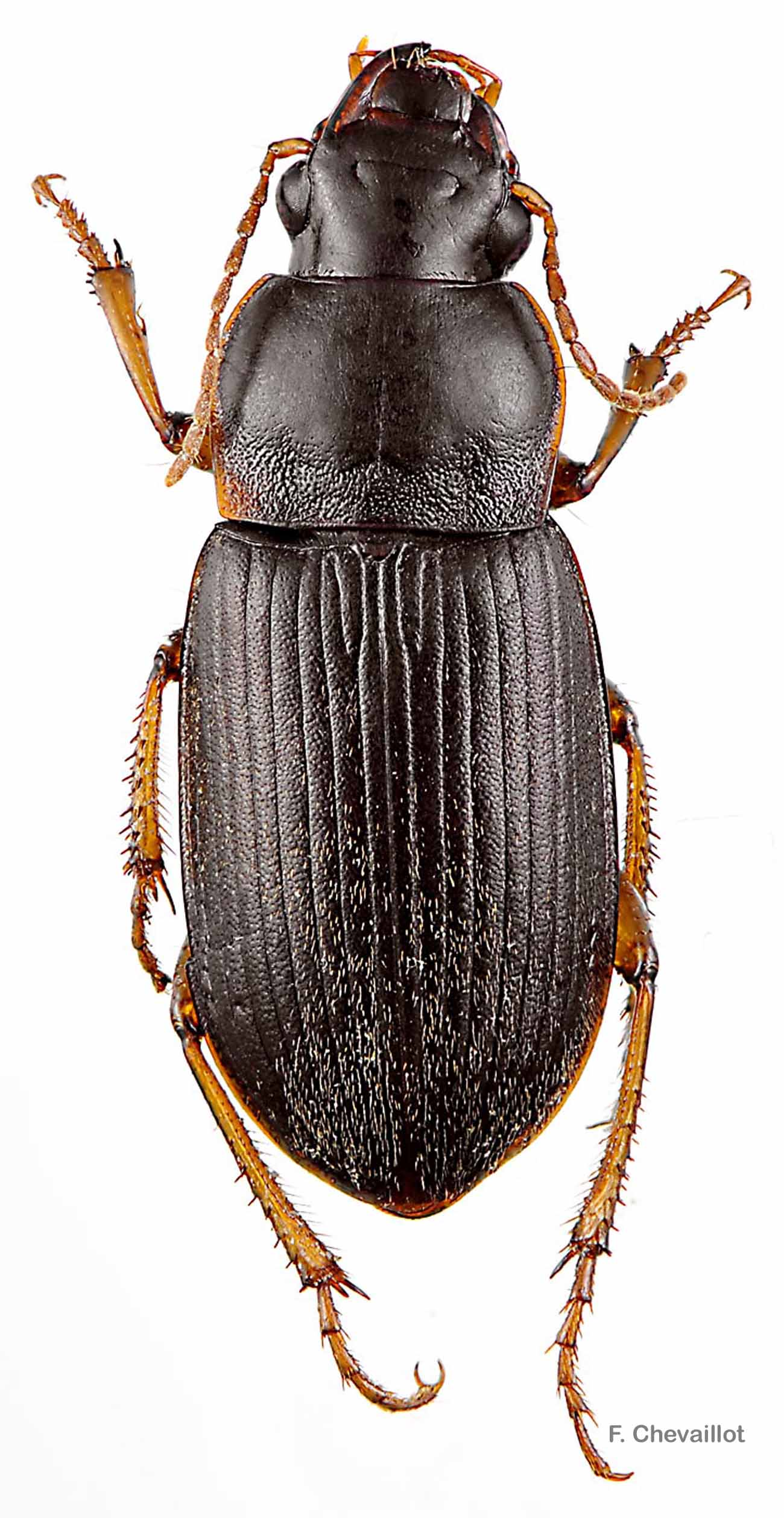 Pseudoophonus griseus