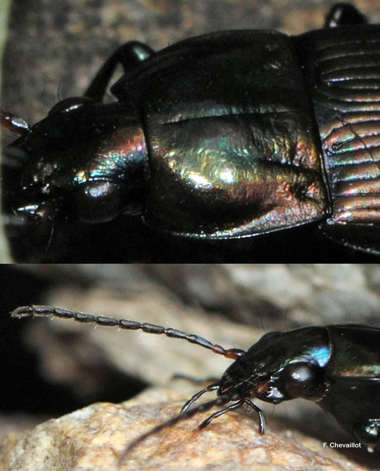 Poecilus versicolor