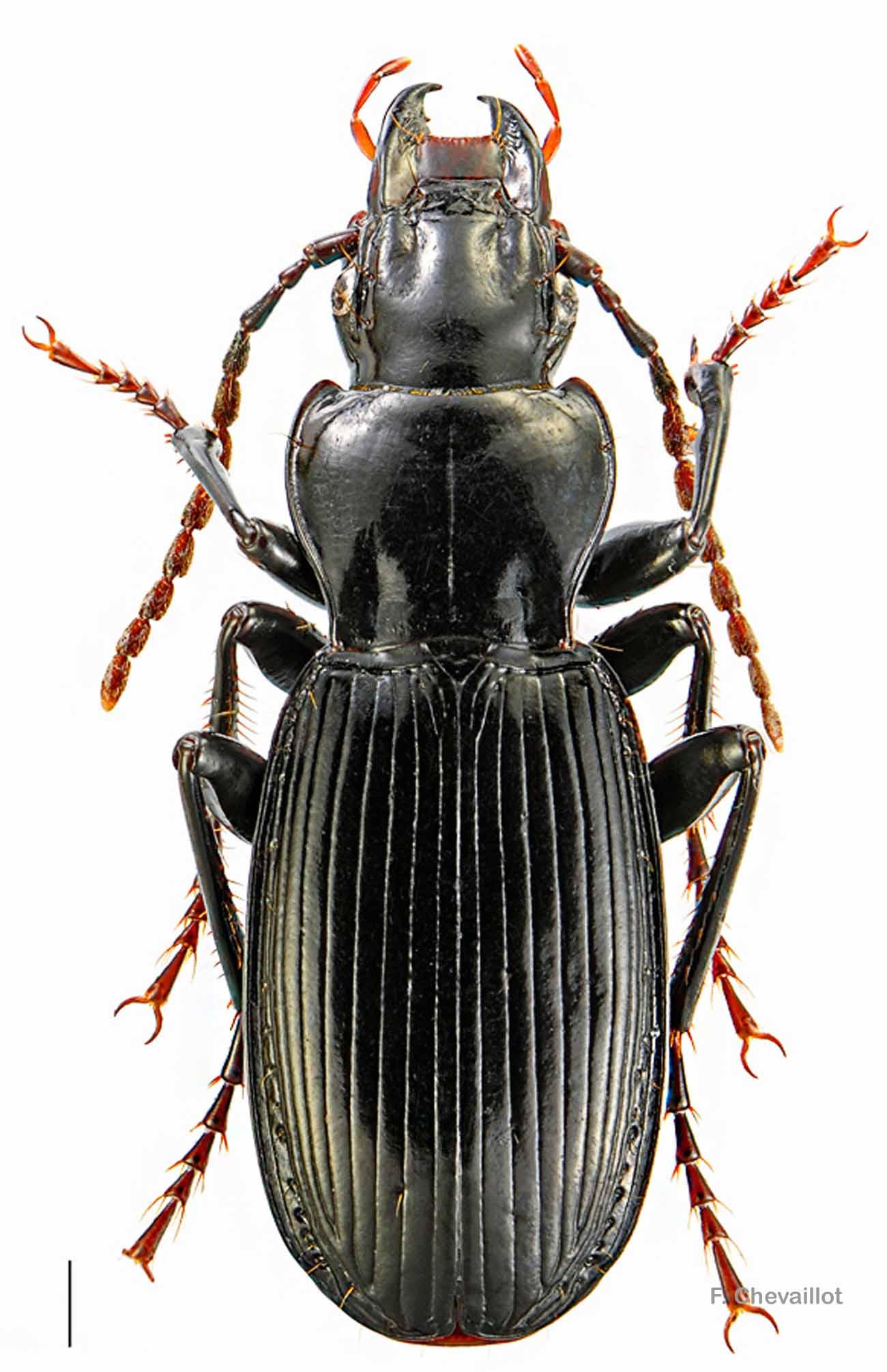 Pterostichus ambiguus