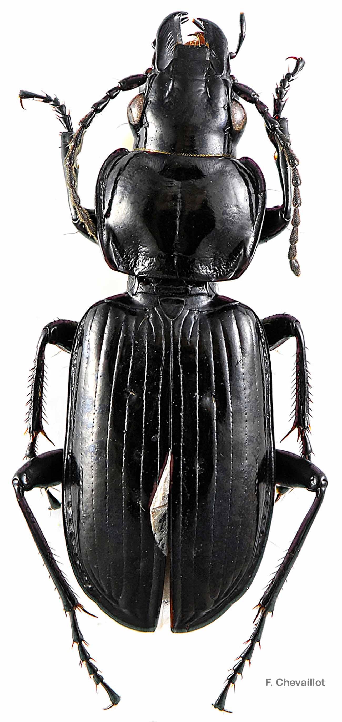 Pterostichus aterrimus