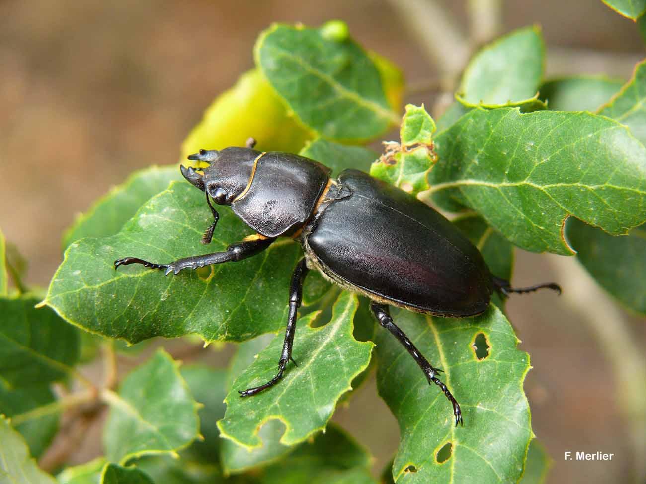 Lucanus tetraodon