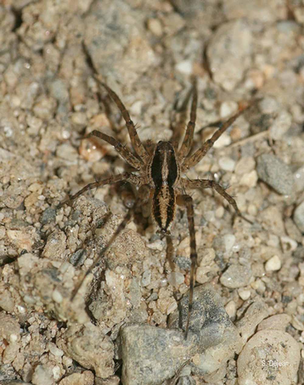Pardosa vittata