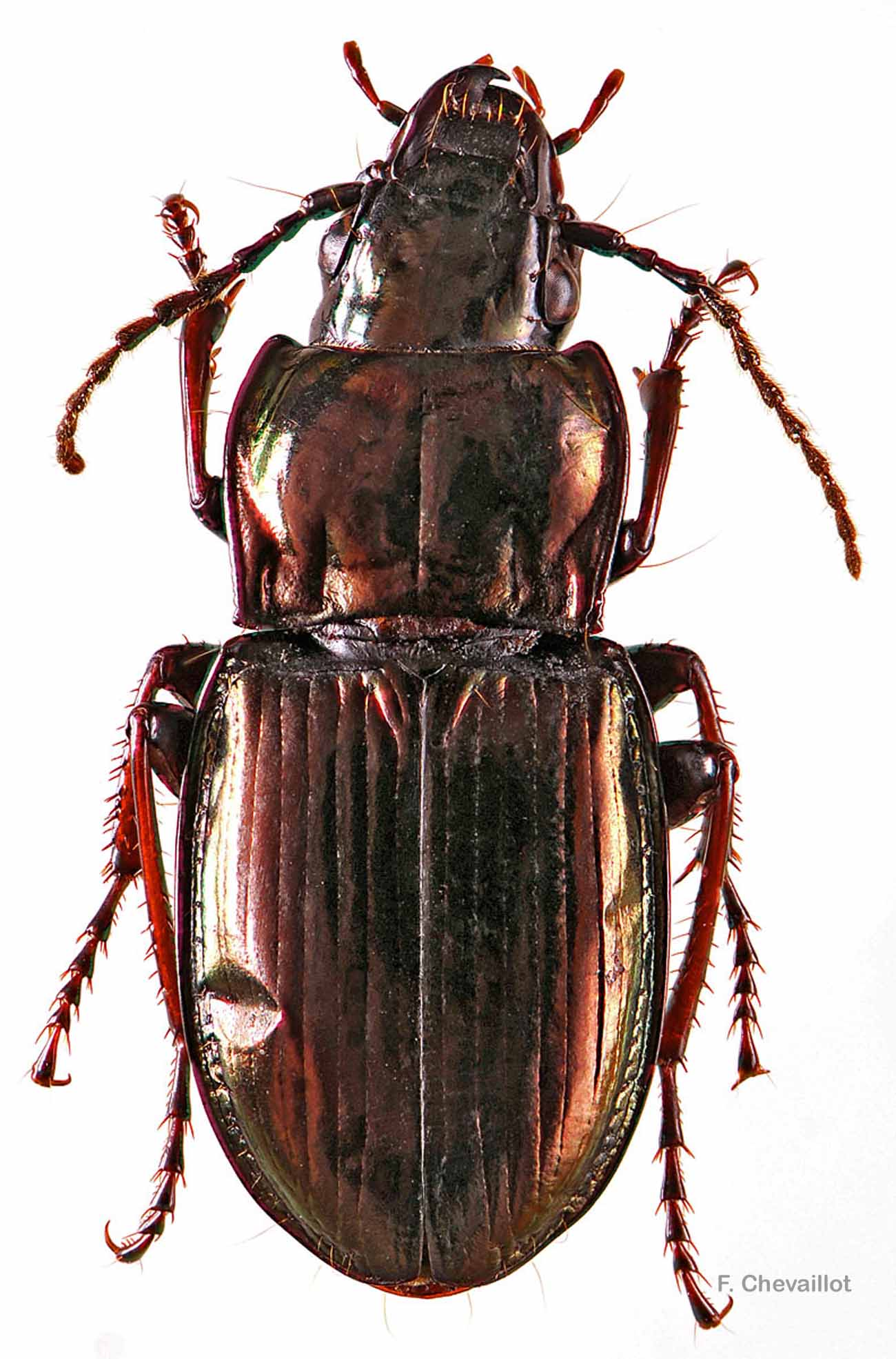 Pterostichus burmeisteri