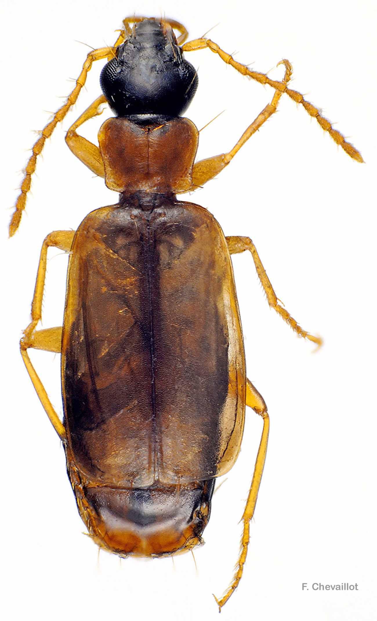 Philorhizus melanocephalus