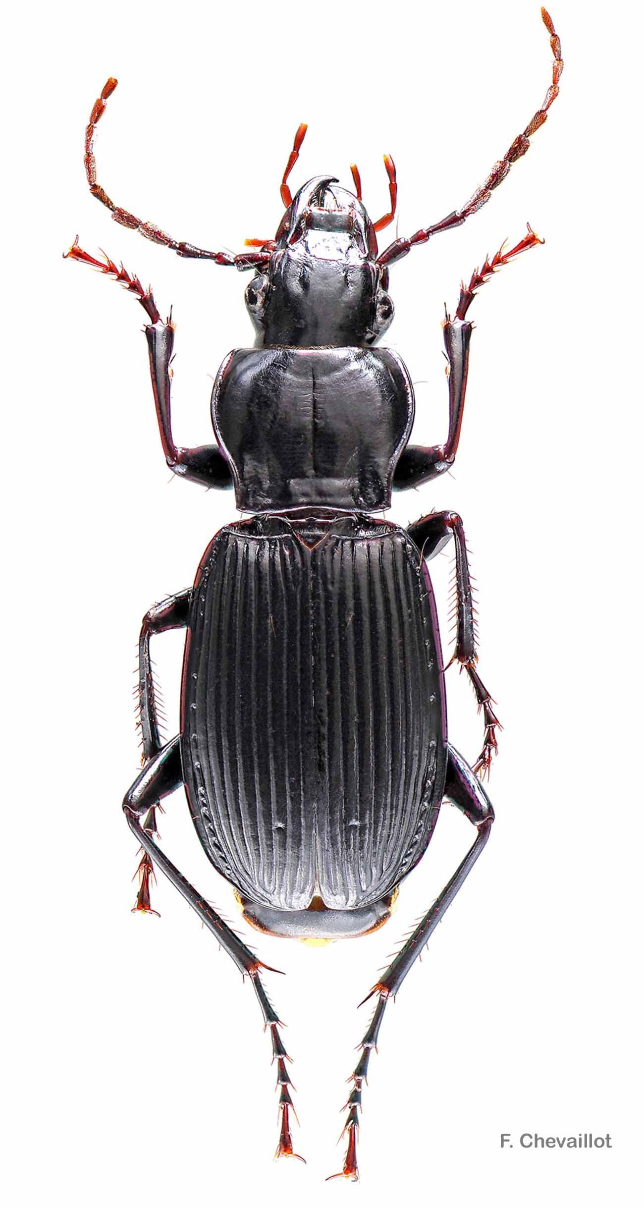 Pterostichus funestes