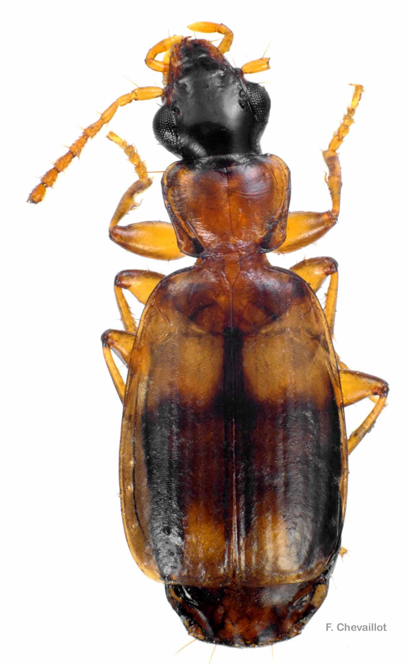 Philorhizus quadrisignatus