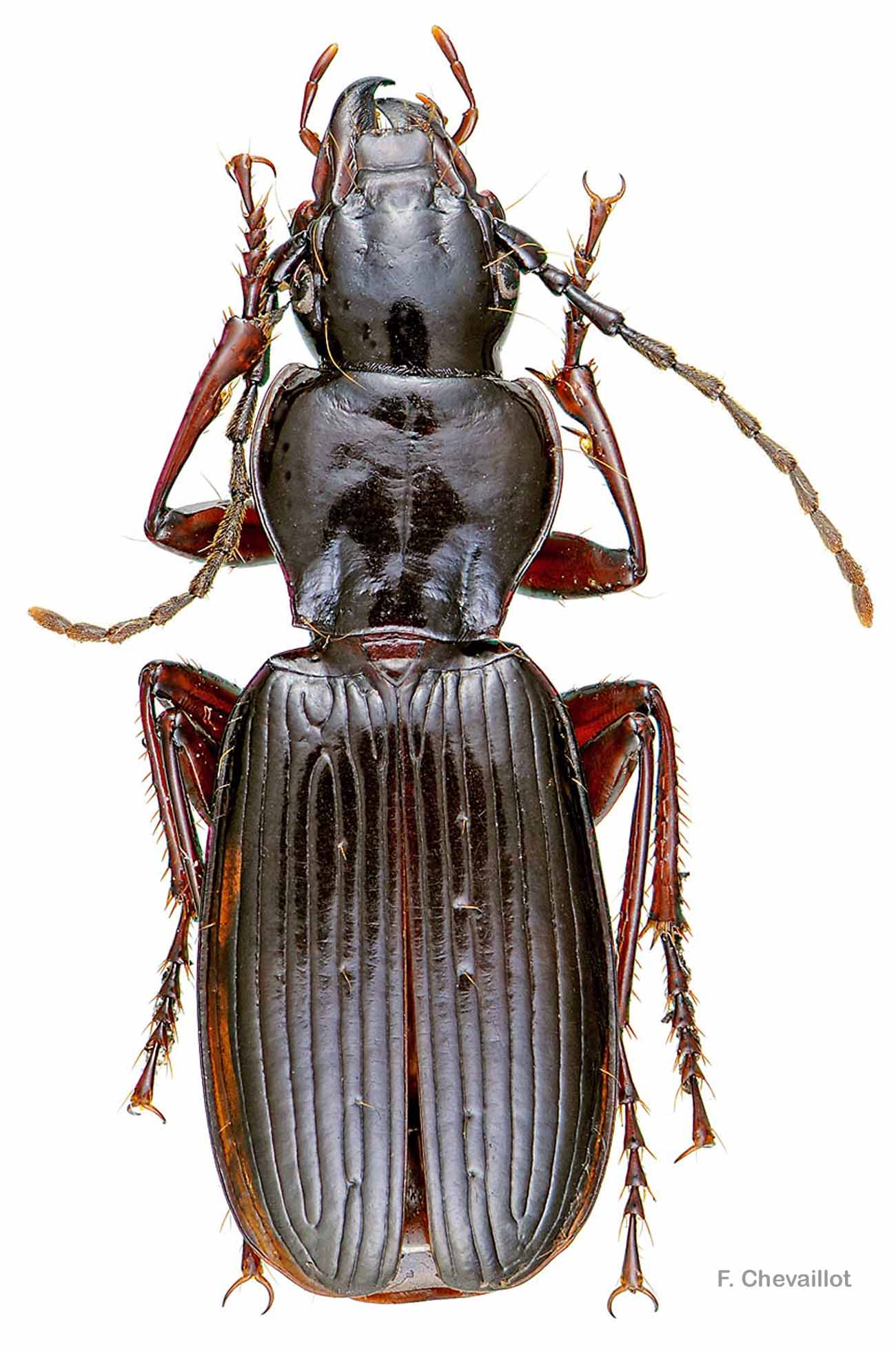 Pterostichus honnoratii