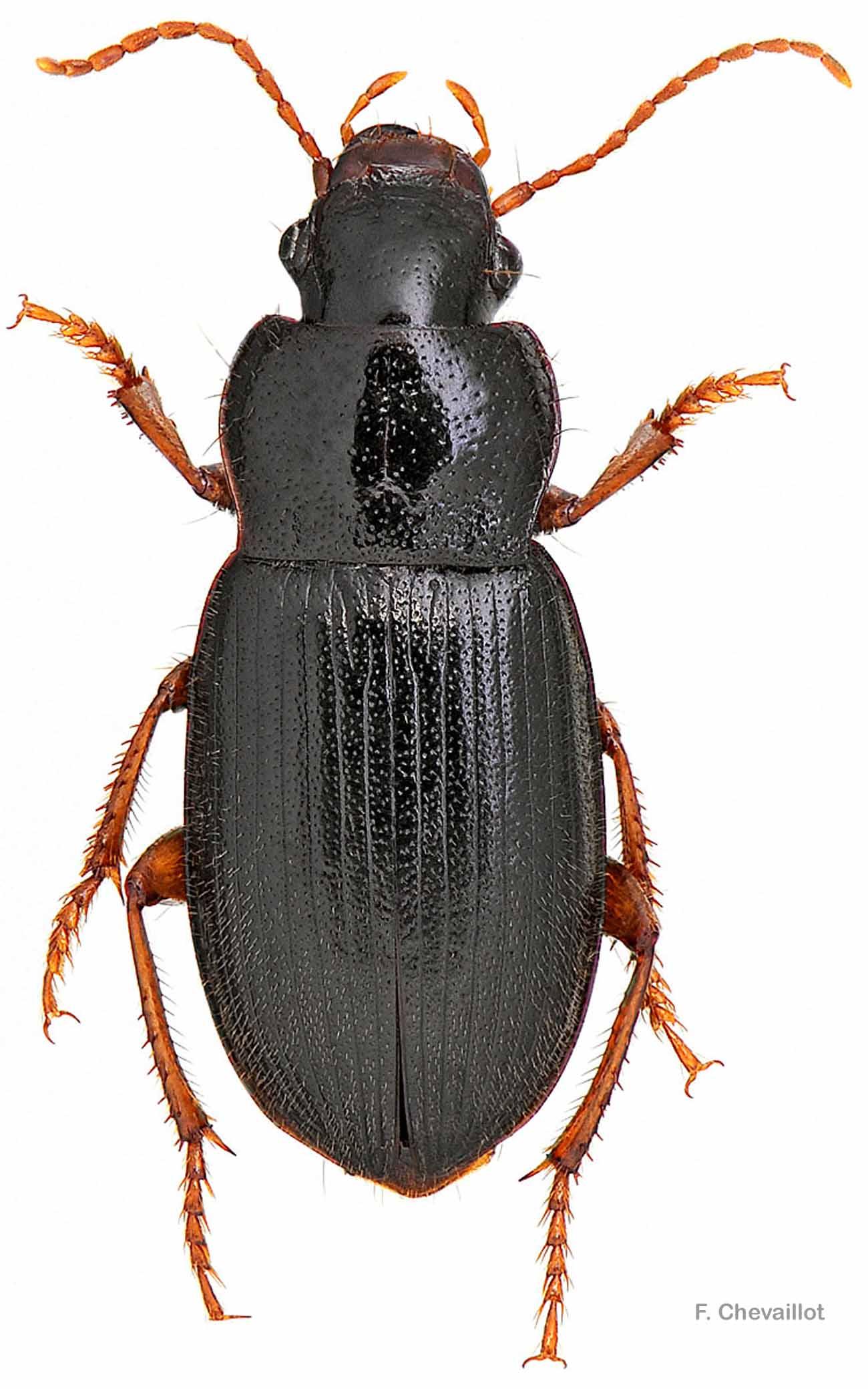 Ophonus rufibarbis
