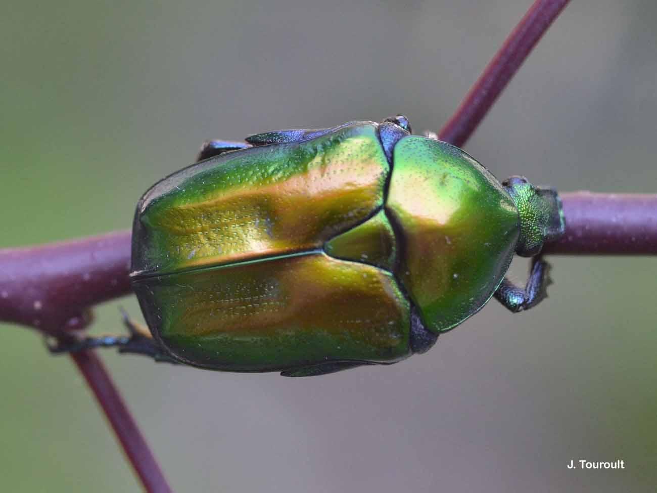 Eupotosia affinis