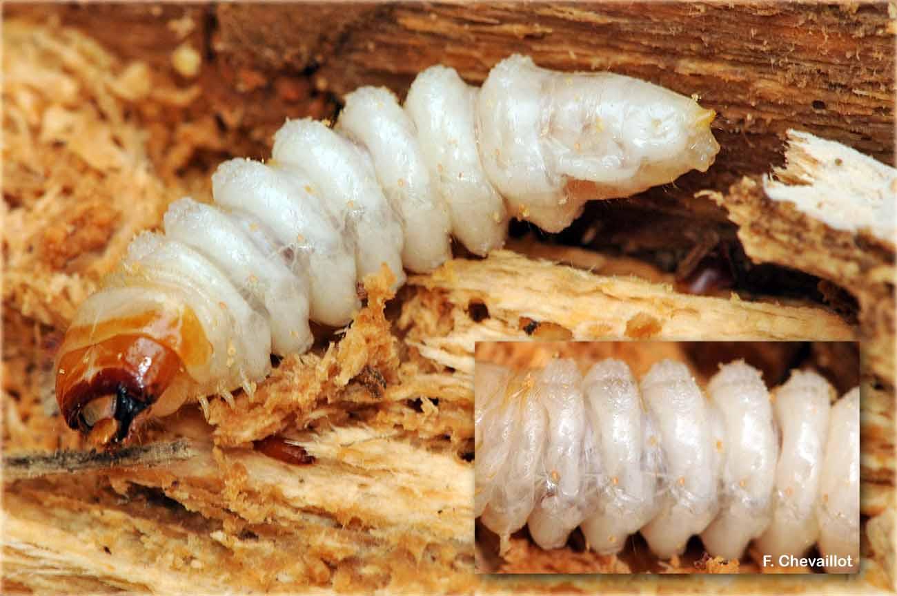 Rhagium bifasciatum