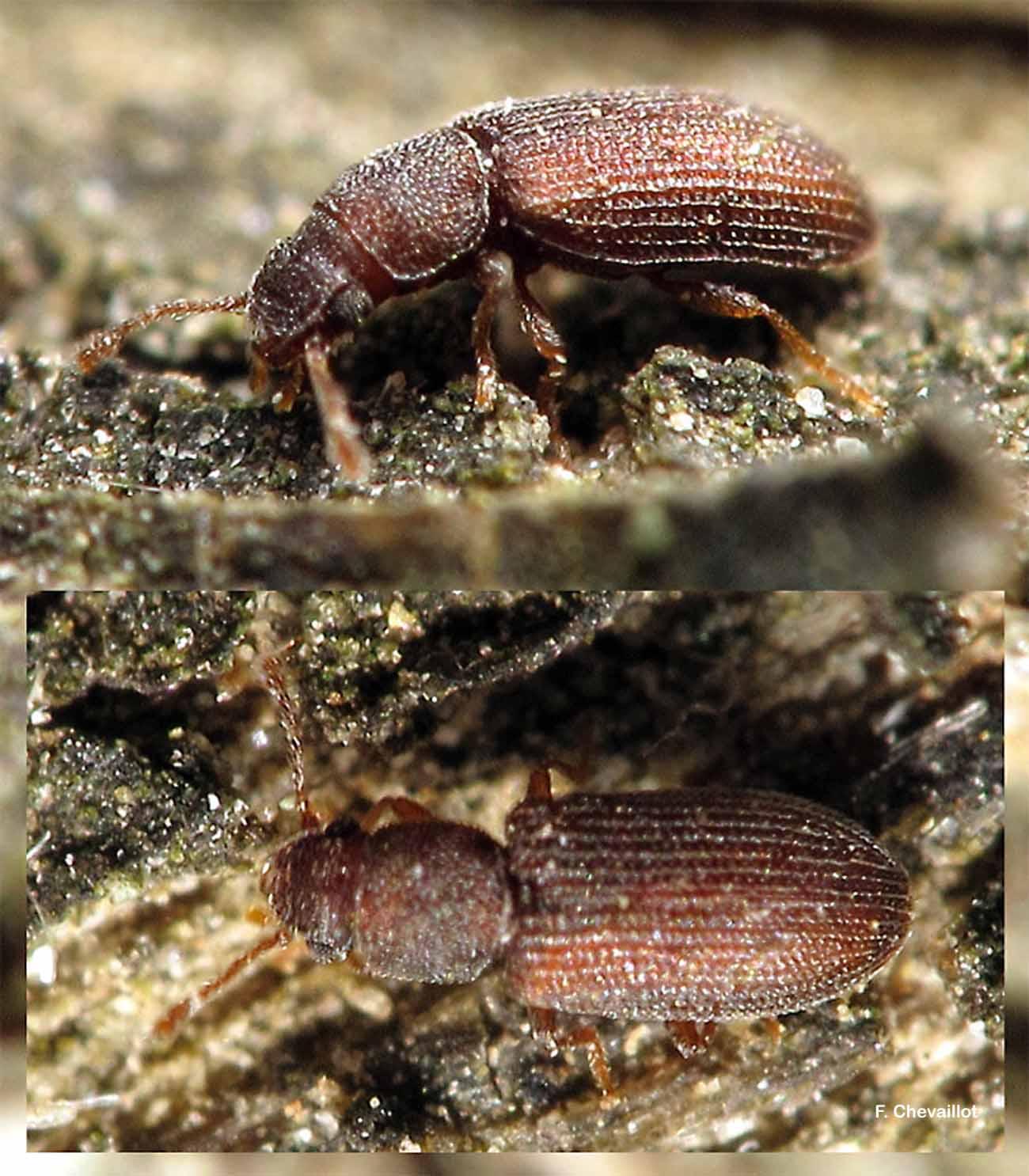 Berginus tamarisci