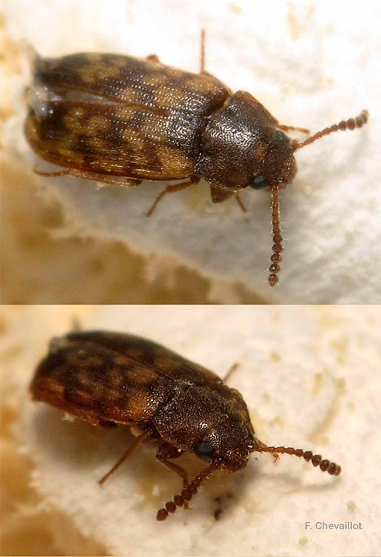 Mycetophagus multipunctatus