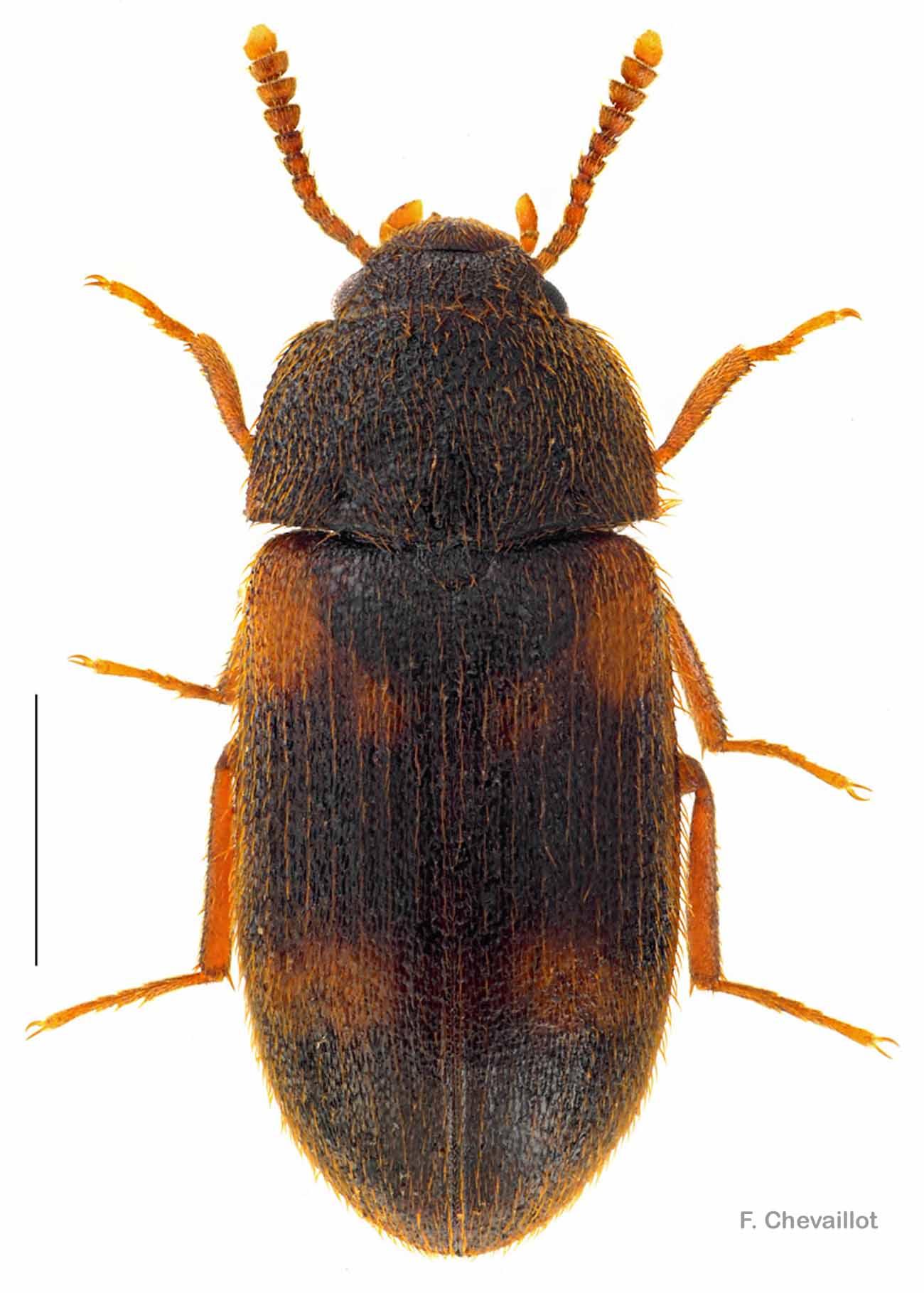 Mycetophagus quadriguttatus