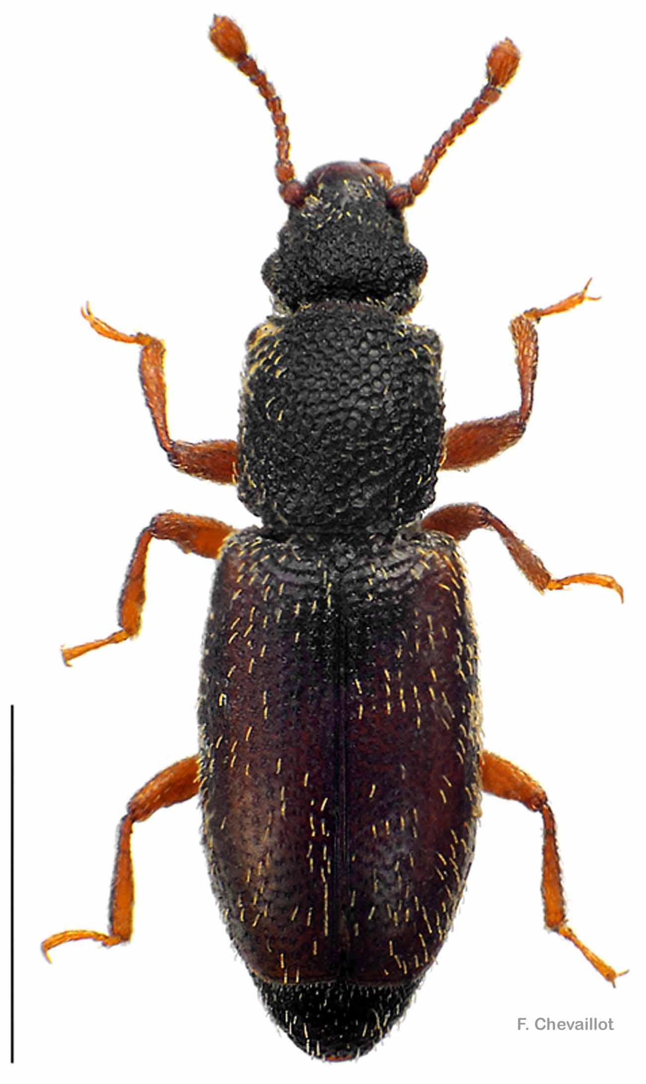 Monotoma bicolor