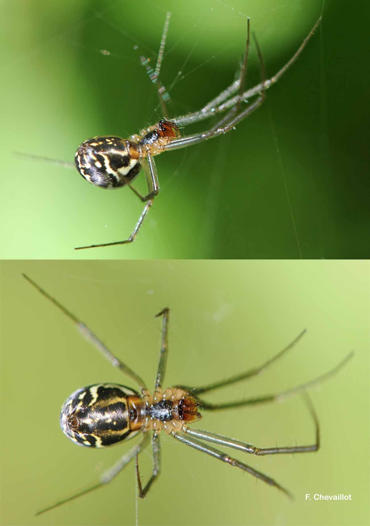 Linyphia triangularis