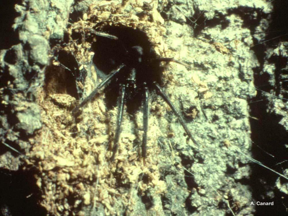 Segestria florentina