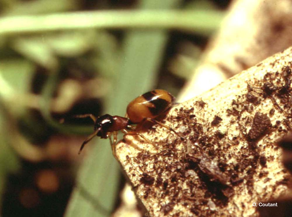 Myrmarachne formicaria