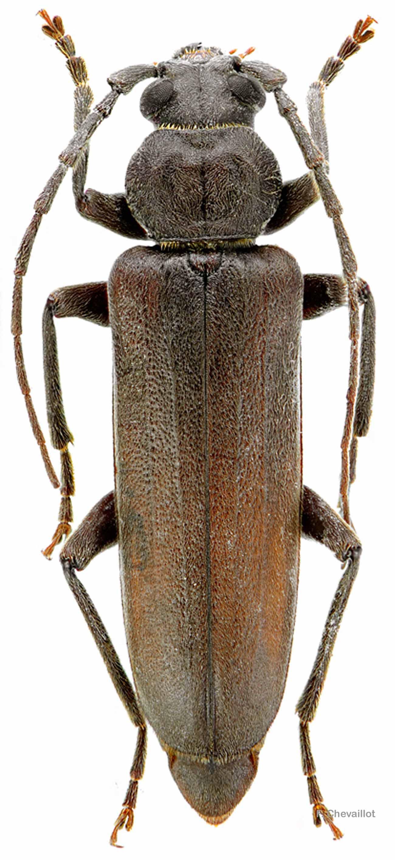 Arhopalus rusticus