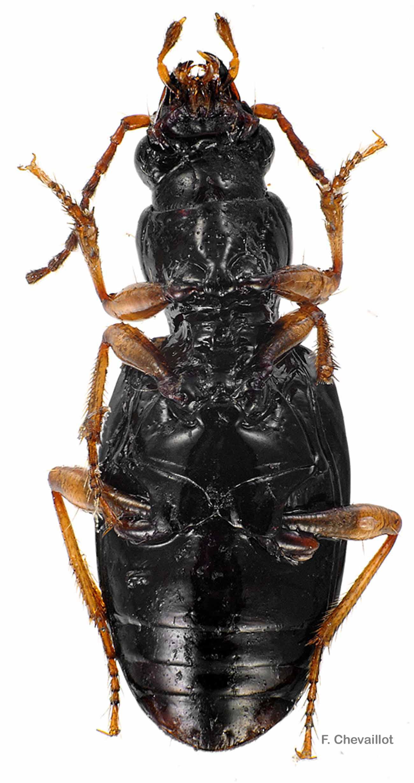 Sinechostictus elongatus