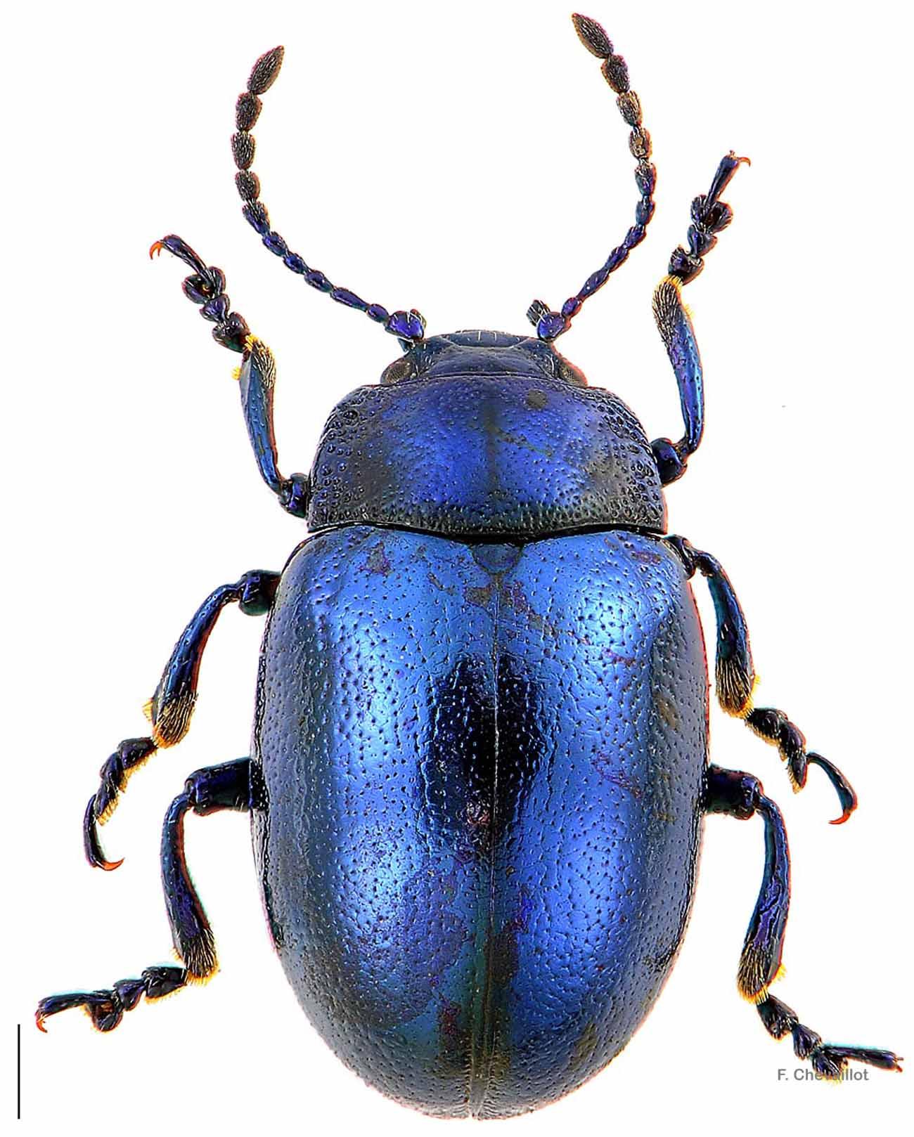 Chrysolina coerulans