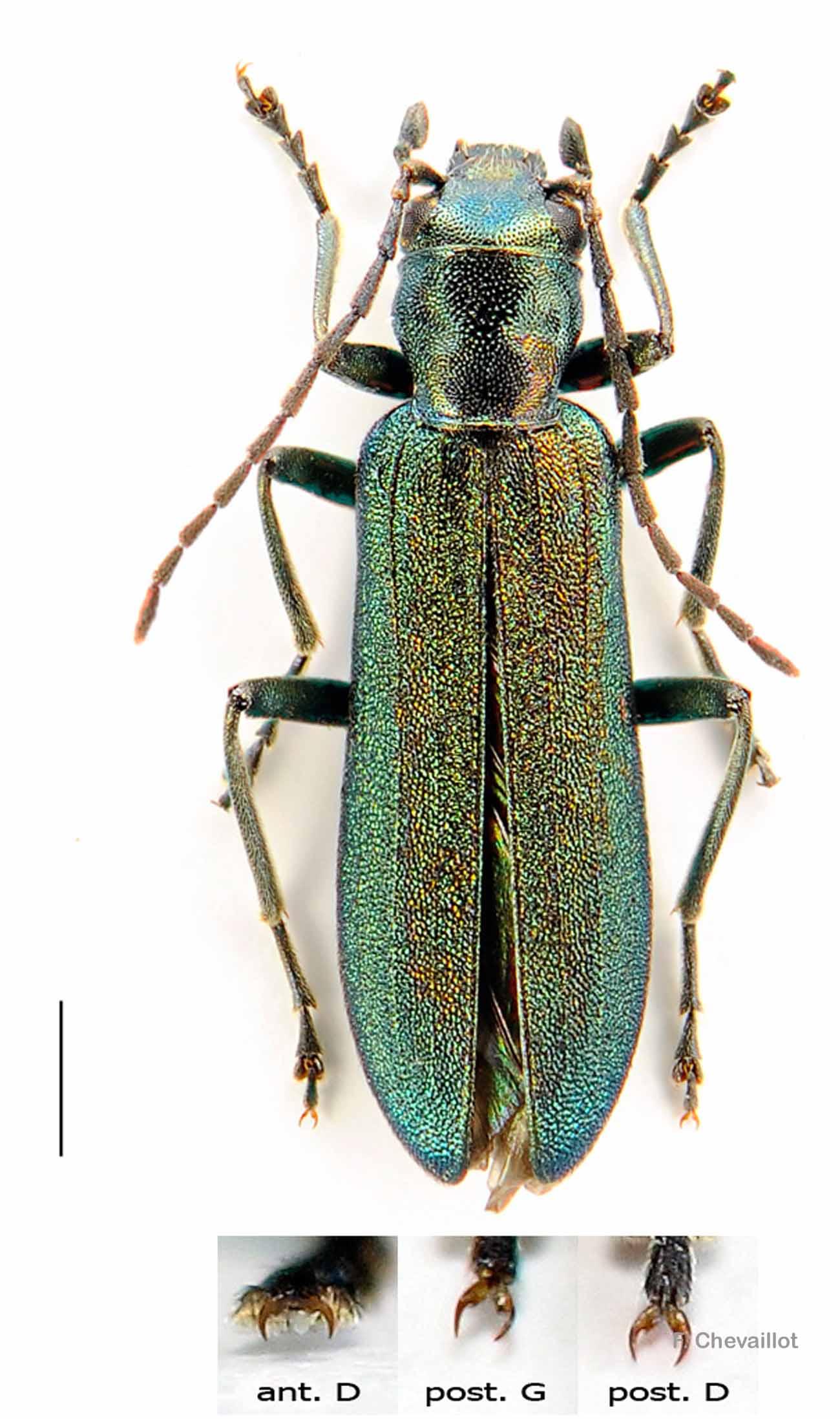 Ischnomera cyanea
