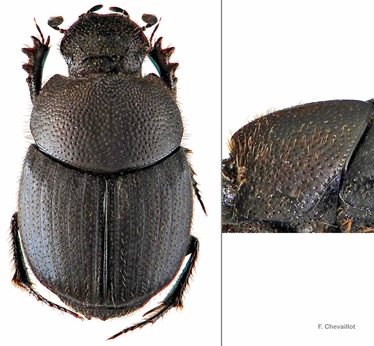 Onthophagus joannae