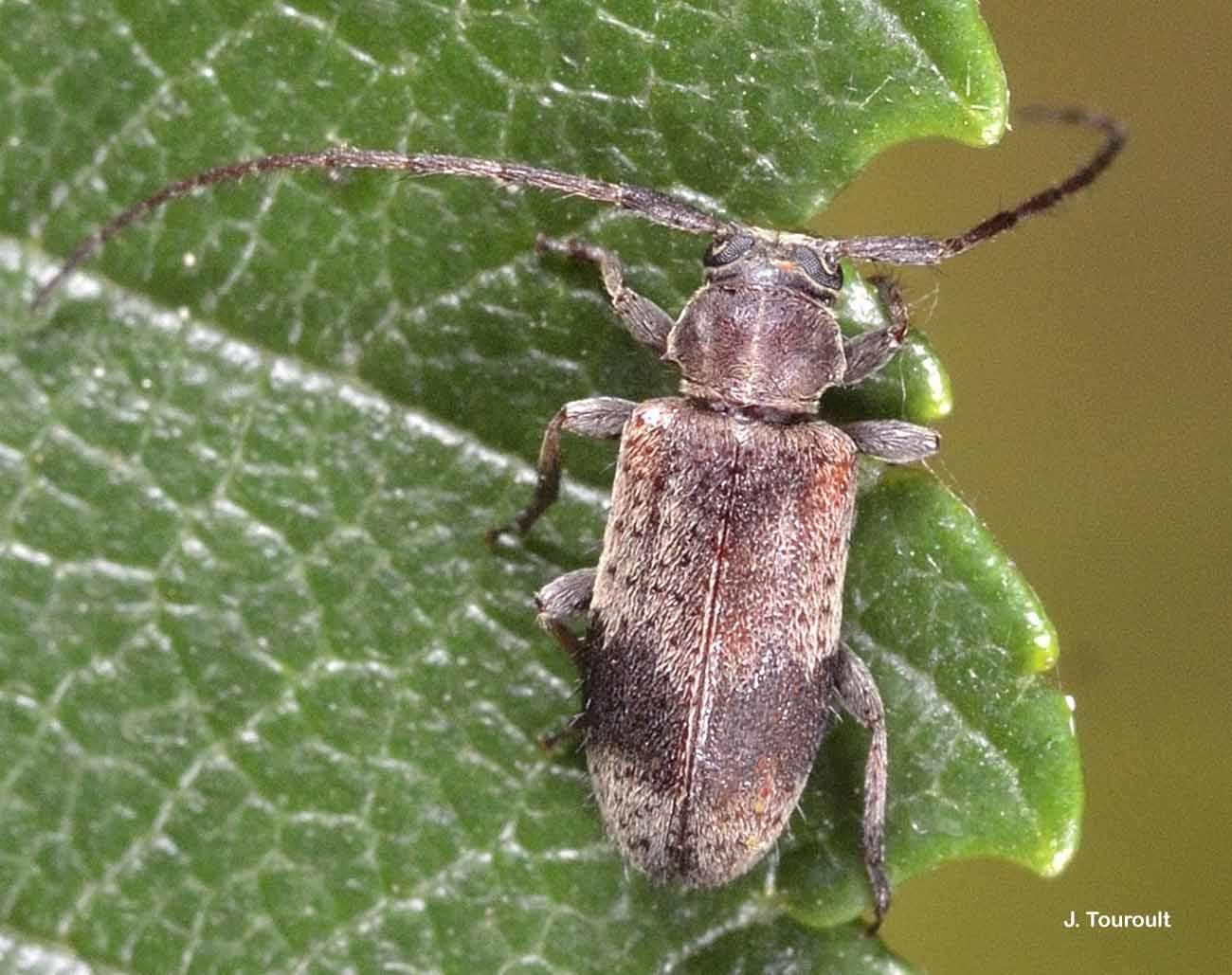Exocentrus punctipennis