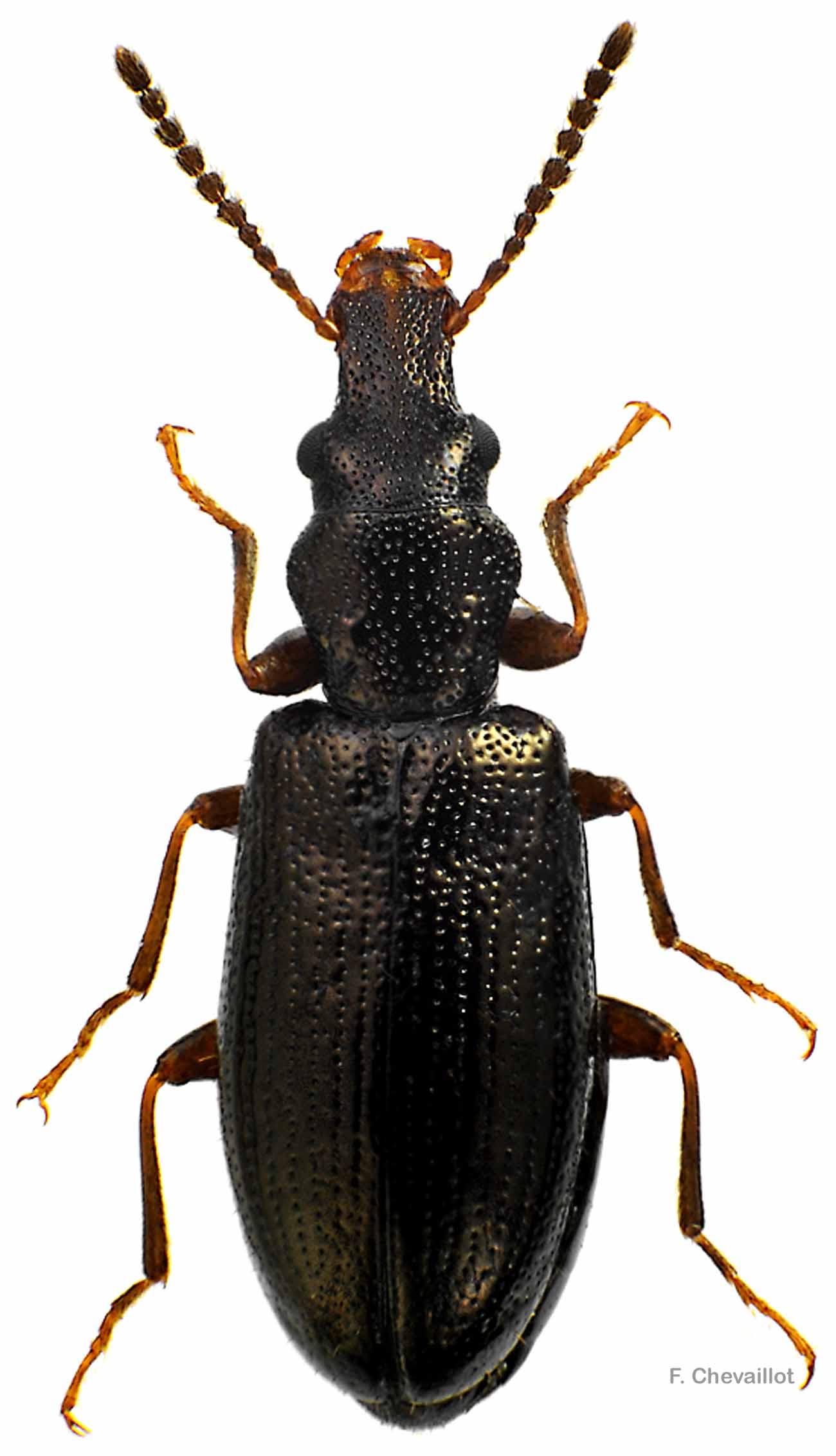 Cariderus aeneus