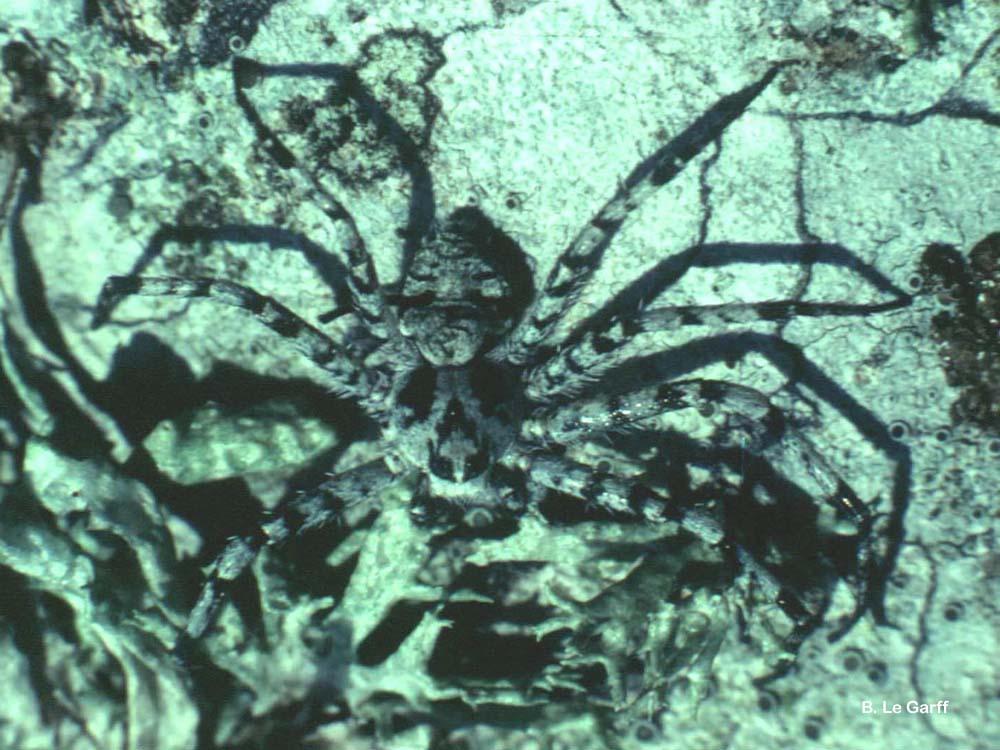 Philodromus margaritatus